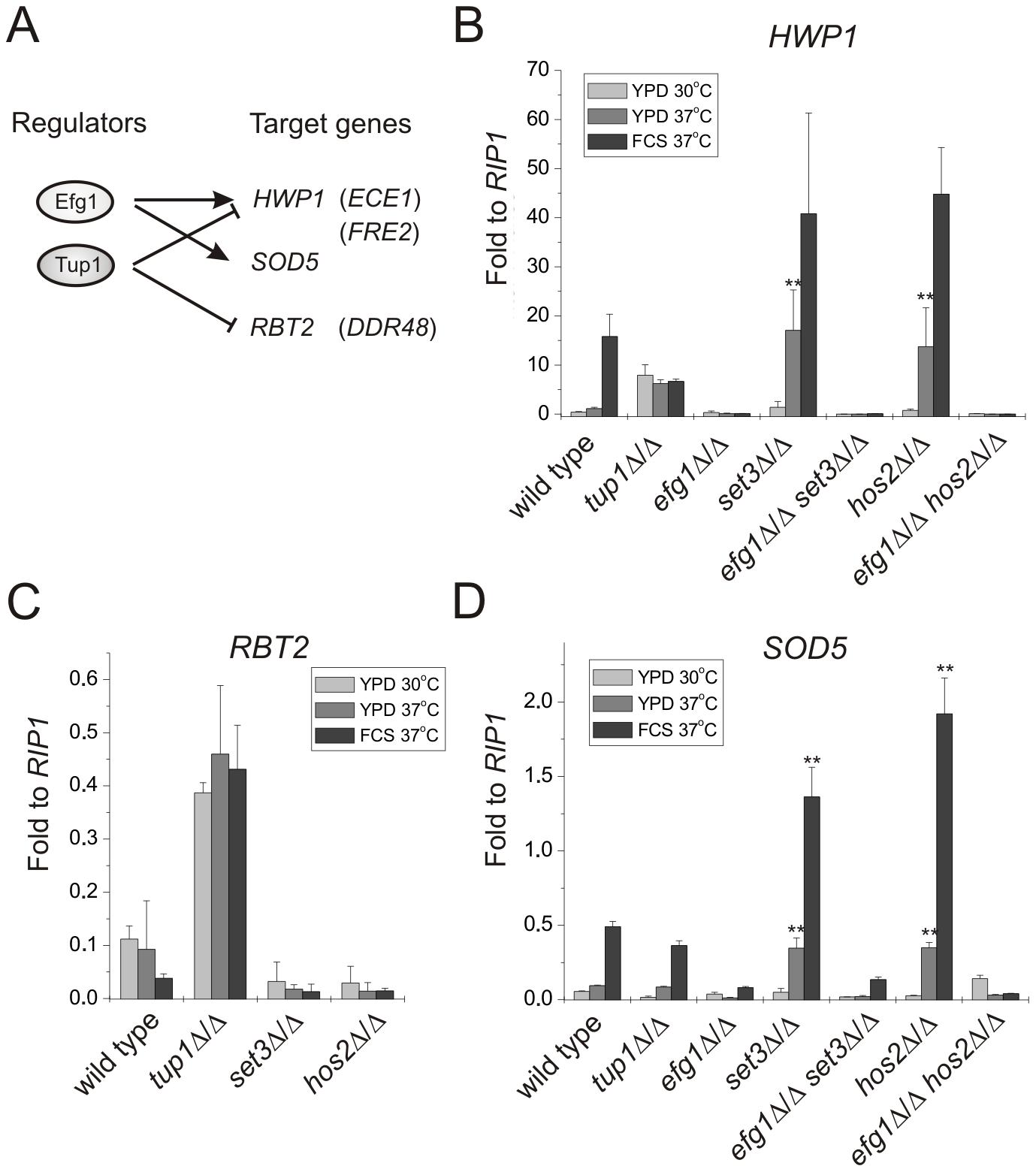 Loss of <i>SET3</i> or <i>HOS2</i> enhances induction of <i>EFG1</i>-dependent target genes.