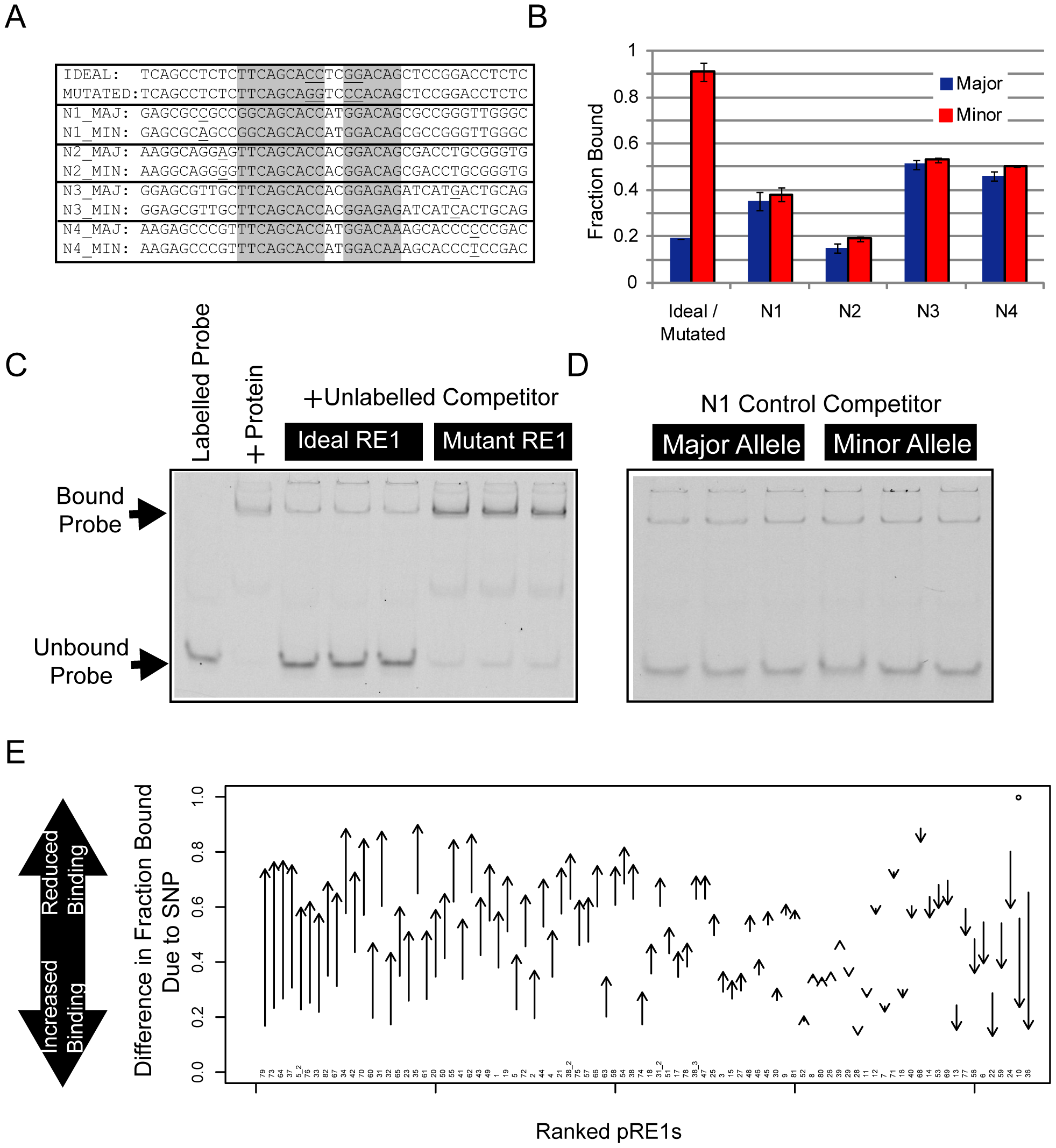 Electrophoretic mobility shift assay to measure affinity differences between RE1 alleles.