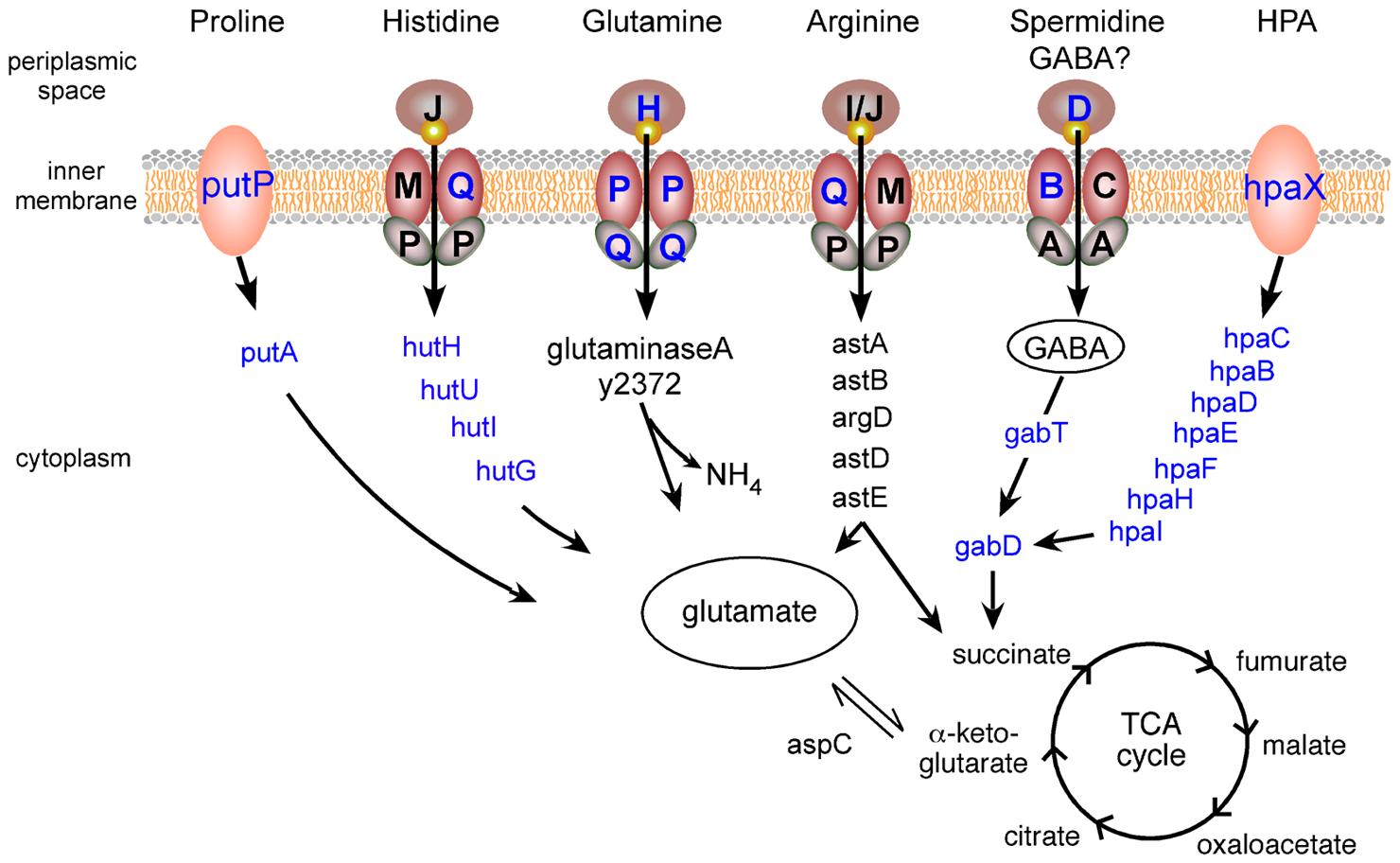 <i>Y. pestis</i> amino acid uptake and catabolism pathways upregulated in the flea.