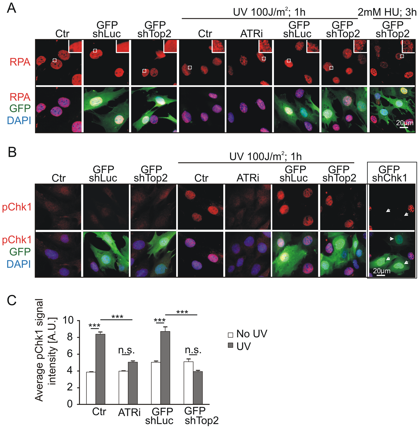 Mutation of AAD impairs ATR-Chk1 pathway <i>in vivo</i>.