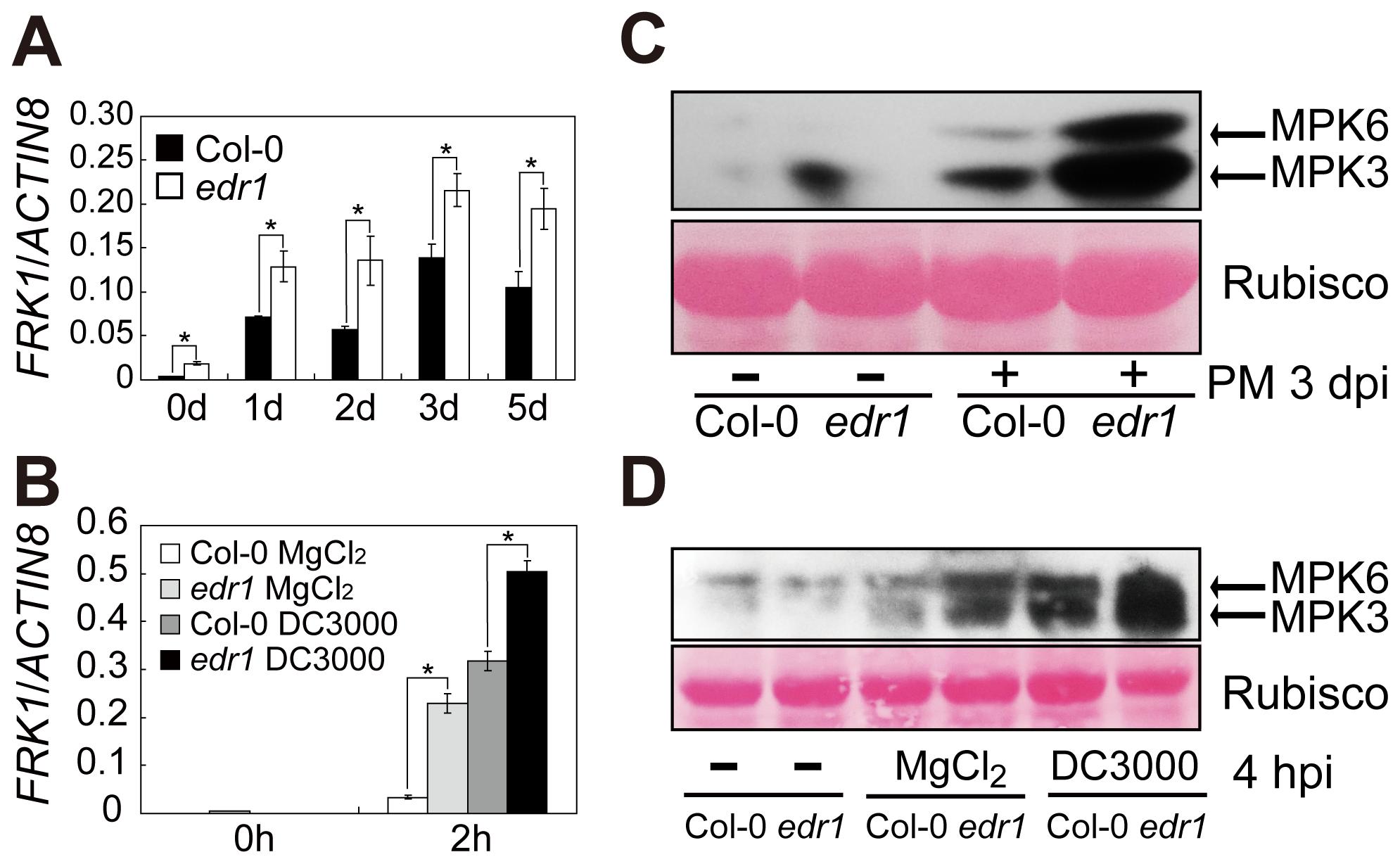 EDR1 negatively regulates the kinase activity of MPK3 and MPK6.