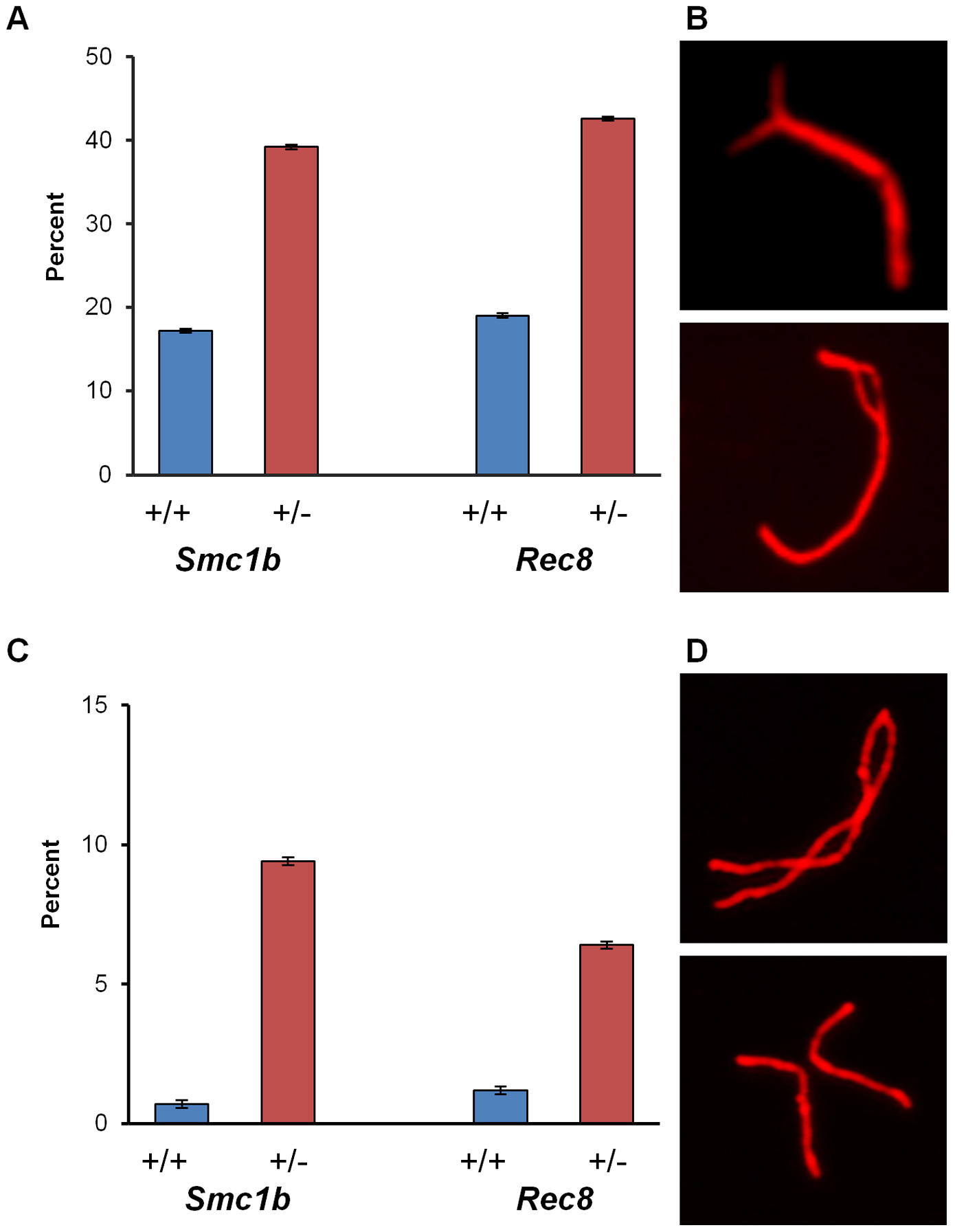 Synaptic errors are increased in cohesin heterozygotes.