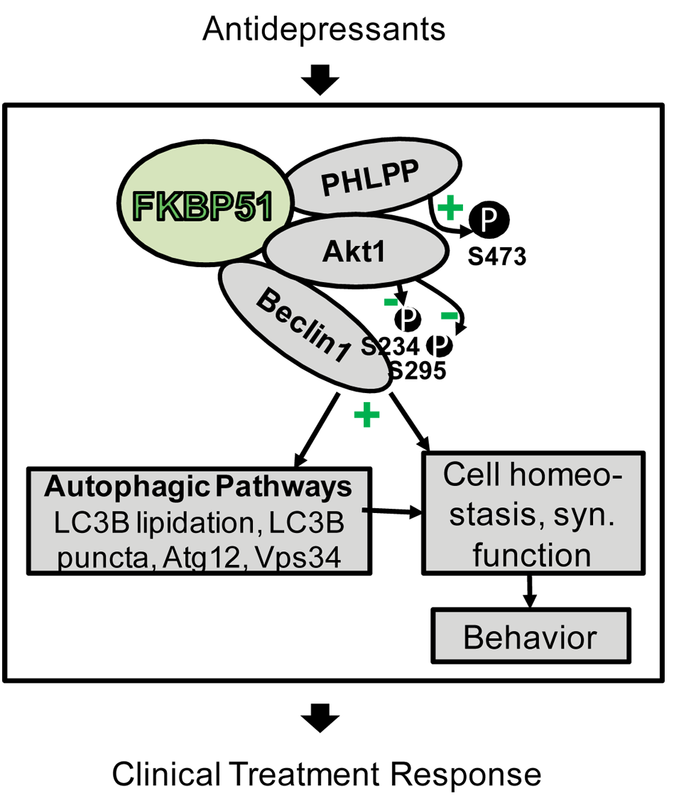 Model of FKBP51's impact on Beclin1 and autophagy pathways.