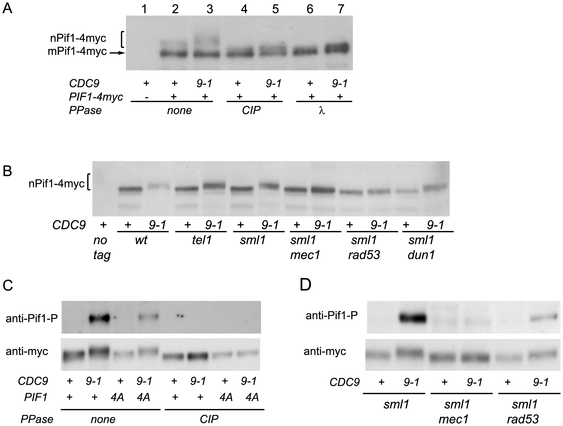 nPif1 is phosphorylated in <i>cdc9-1</i> cells and this phosphorylation is required for telomere elongation.