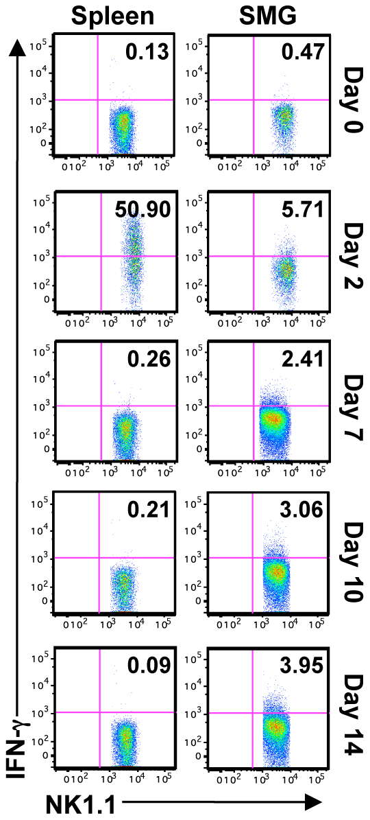 SMG NK cells are hyporesponsive <i>in vivo</i> during MCMV infection.