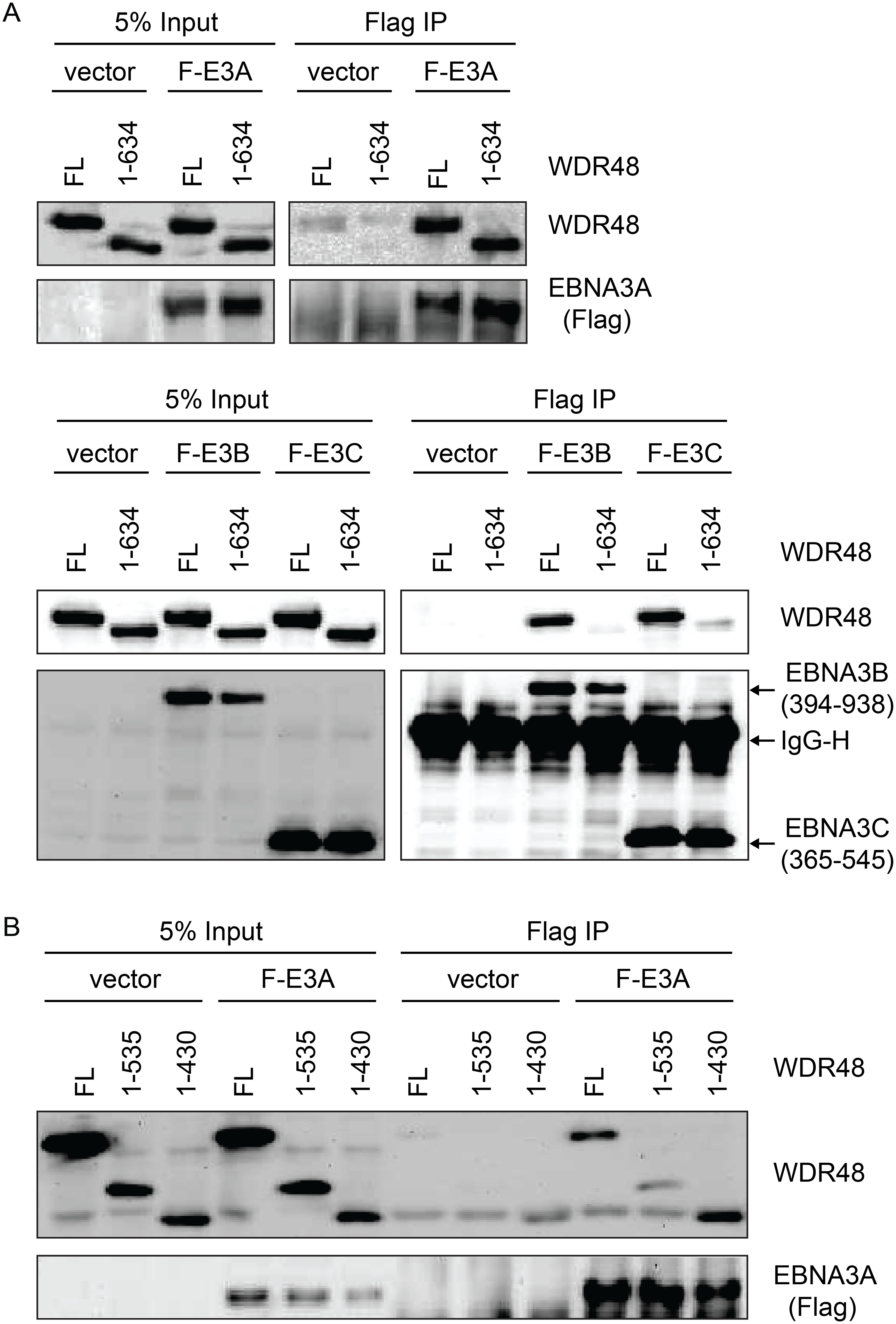 WDR48 SLD2 mediates binding to EBNA3B and EBNA3C, but is not required for EBNA3A binding.