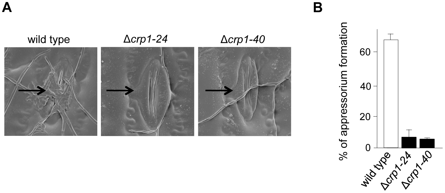 <i>CRP1</i> regulates appressorium formation and stomatal tropism in <i>C. zeae-maydis</i>.