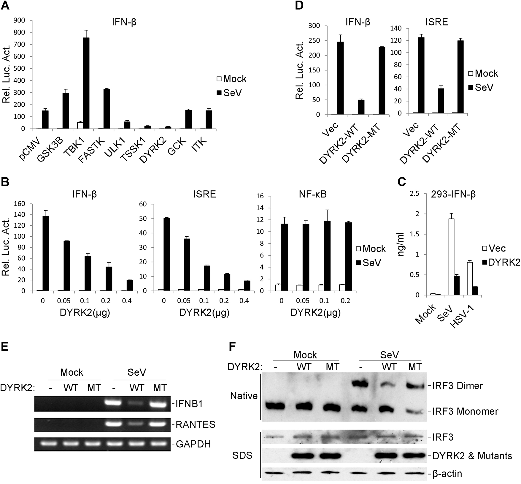The overexpression of DYRK2 markedly inhibited the virus-triggered activations of IRF3 and IFNB1 gene transcription.