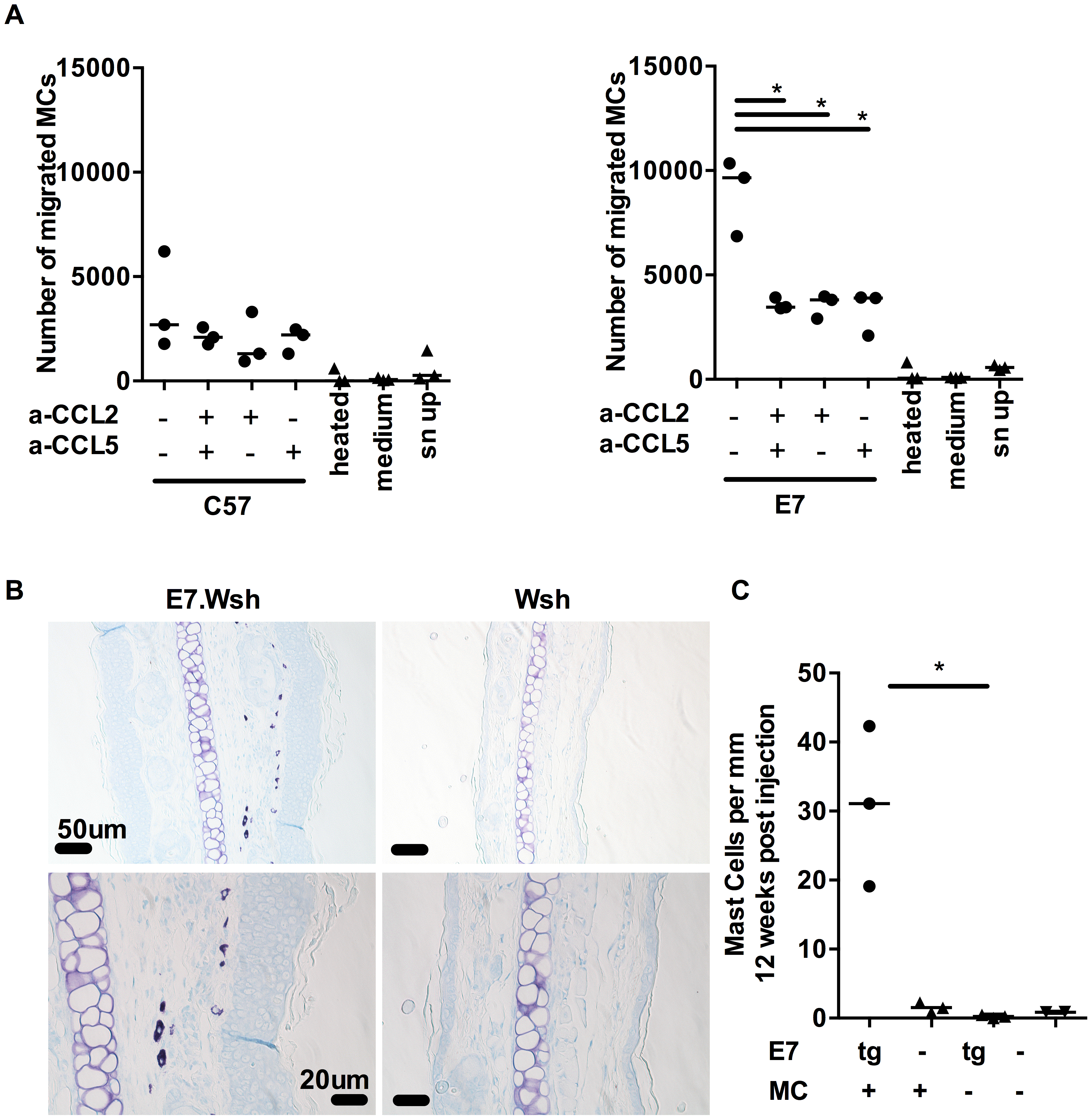 MCs migrate towards CCL2 and CCL5 and are recruited to E7 ear skin.