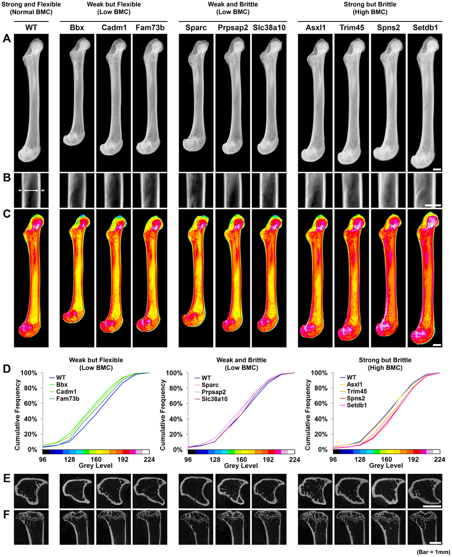 Knockout strains with major phenotypes affecting bone structure and strength.