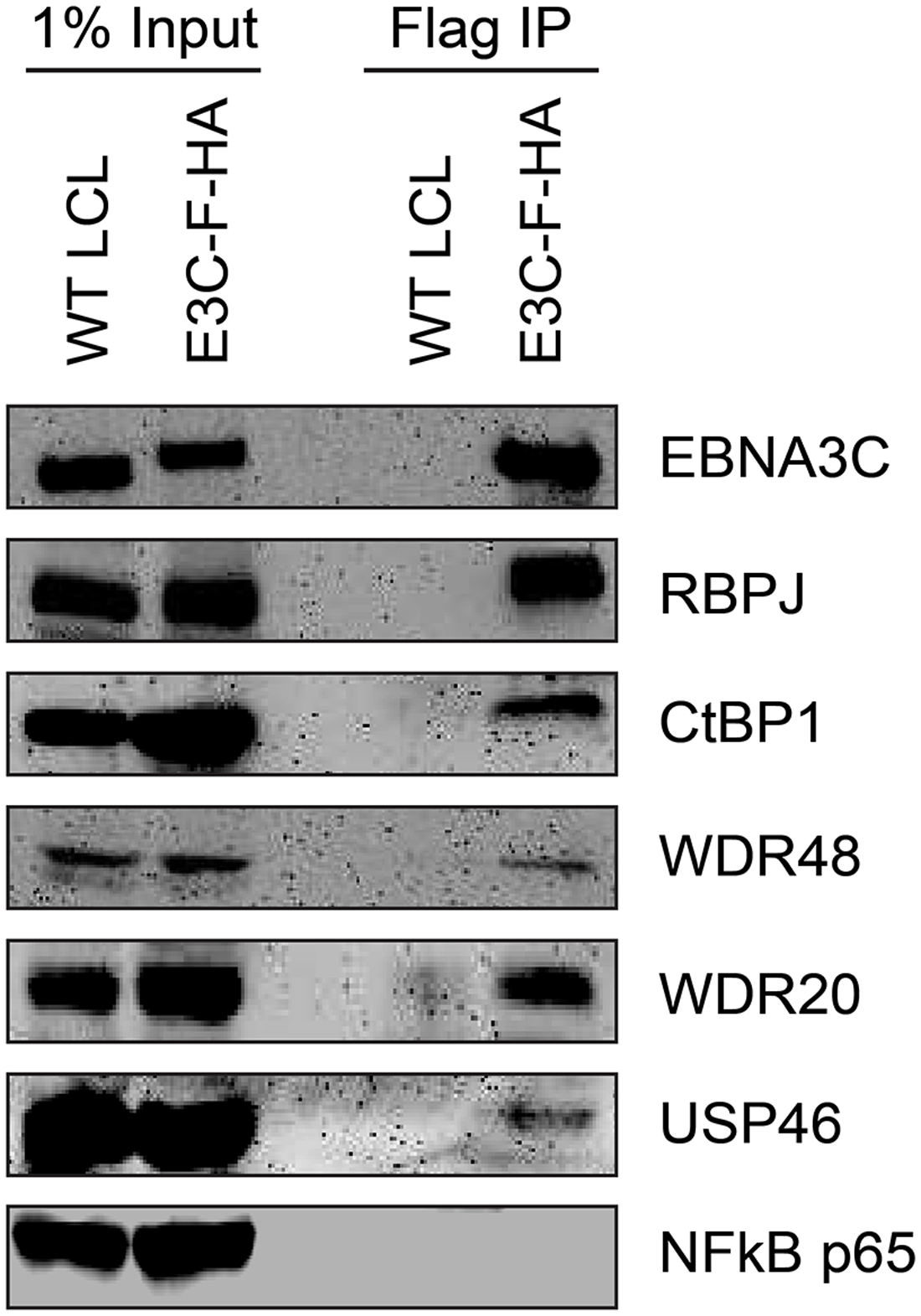 EBNA3C associates with the WDR48/USP46 complex in EBNA3C-F-HA LCLs.