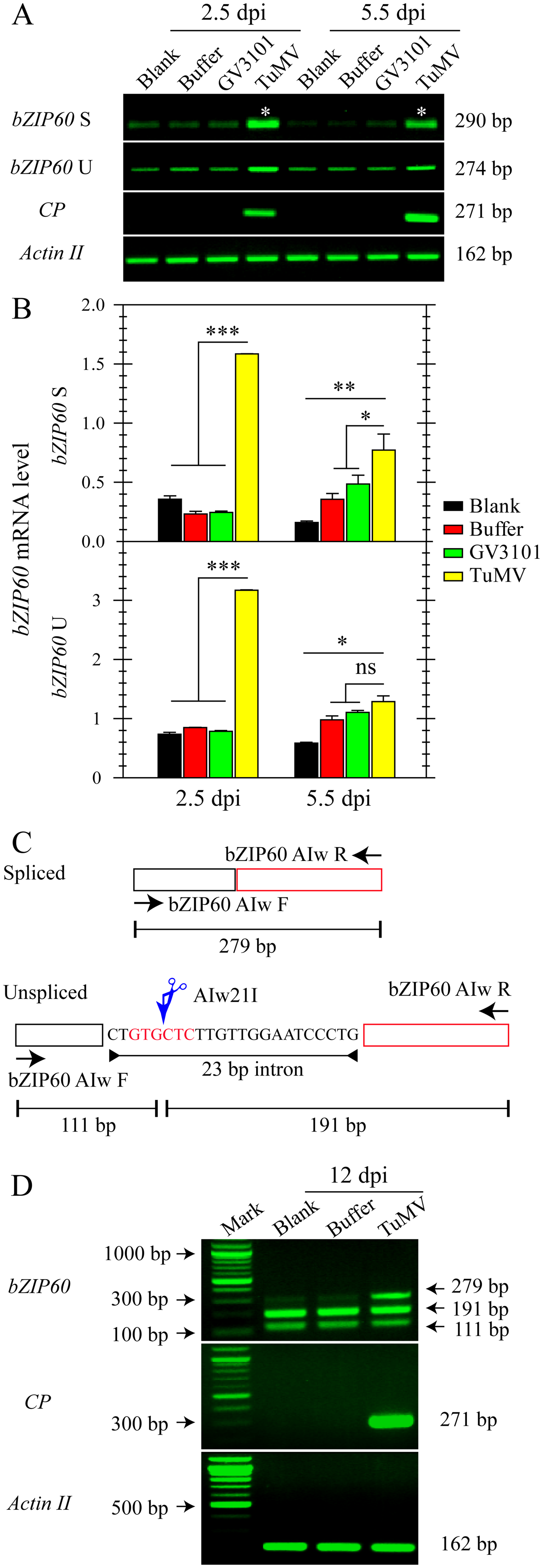 The splicing of <i>bZIP60</i> is induced in response to TuMV infection.