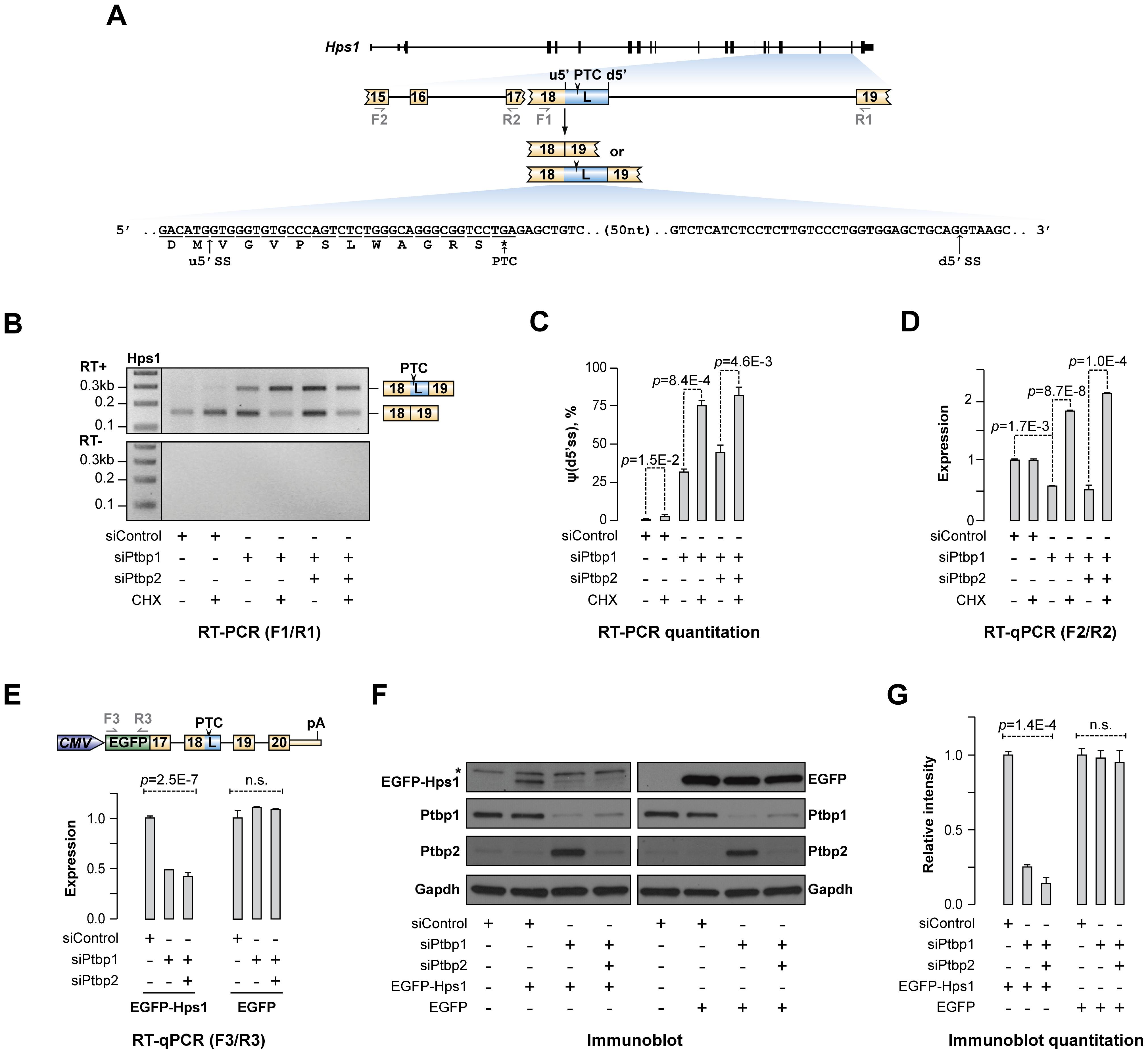 Ptbp1 regulates Hps1 mRNA abundance through AS-NMD.