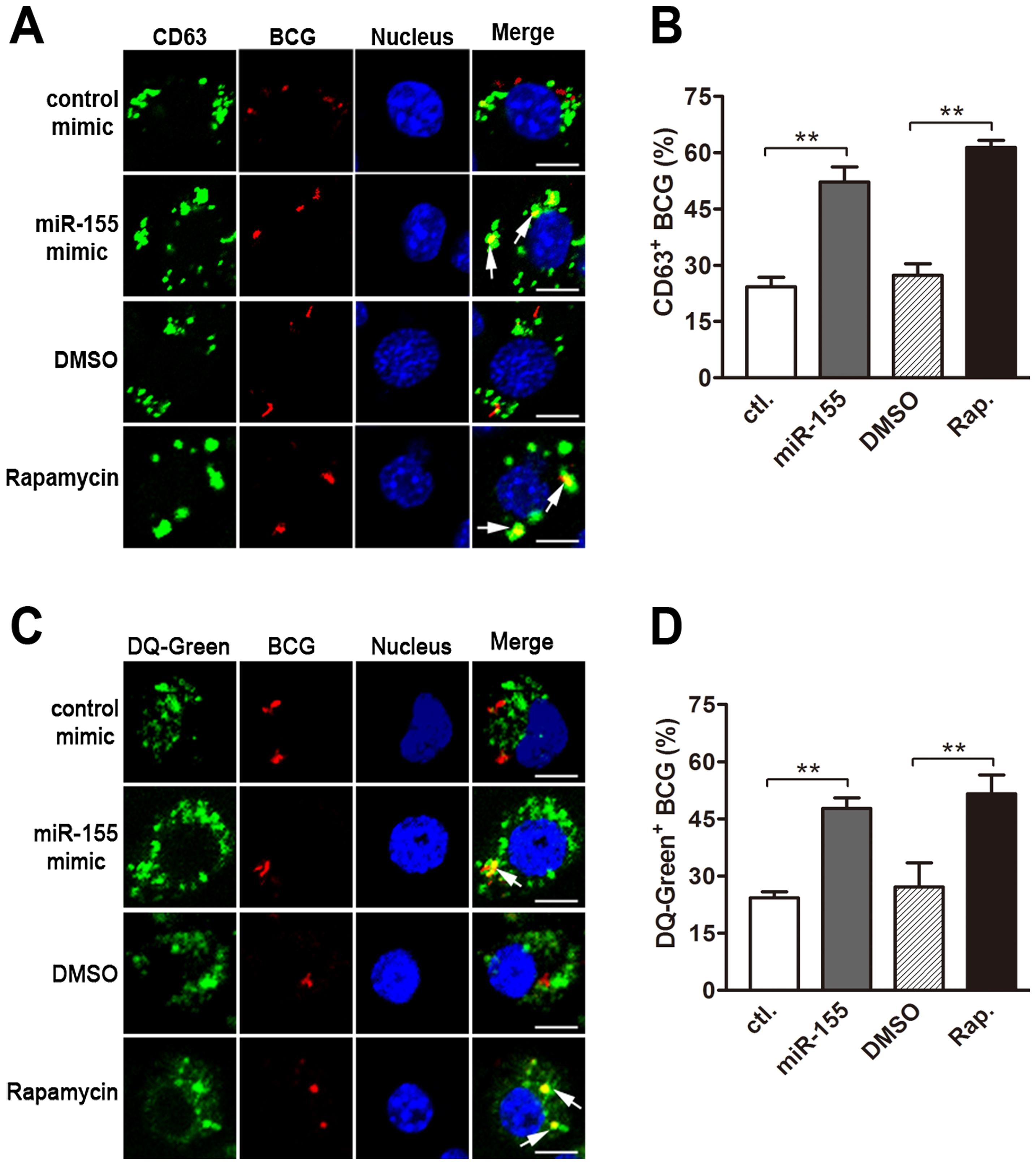 miR-155 promotes mycobacterial phagosome maturation.
