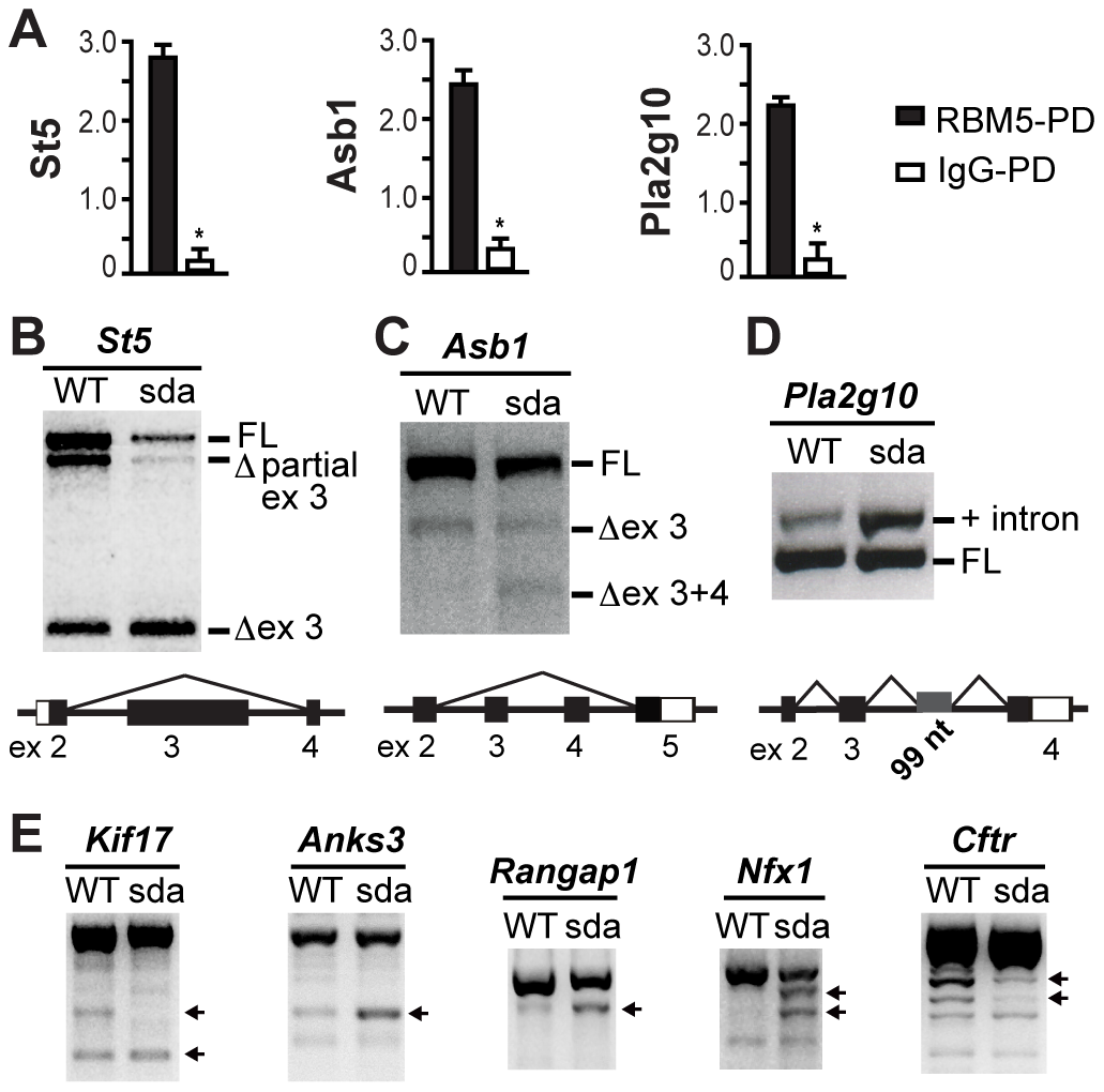 RBM5 RRM2 is required for appropriate pre-mRNA splicing.