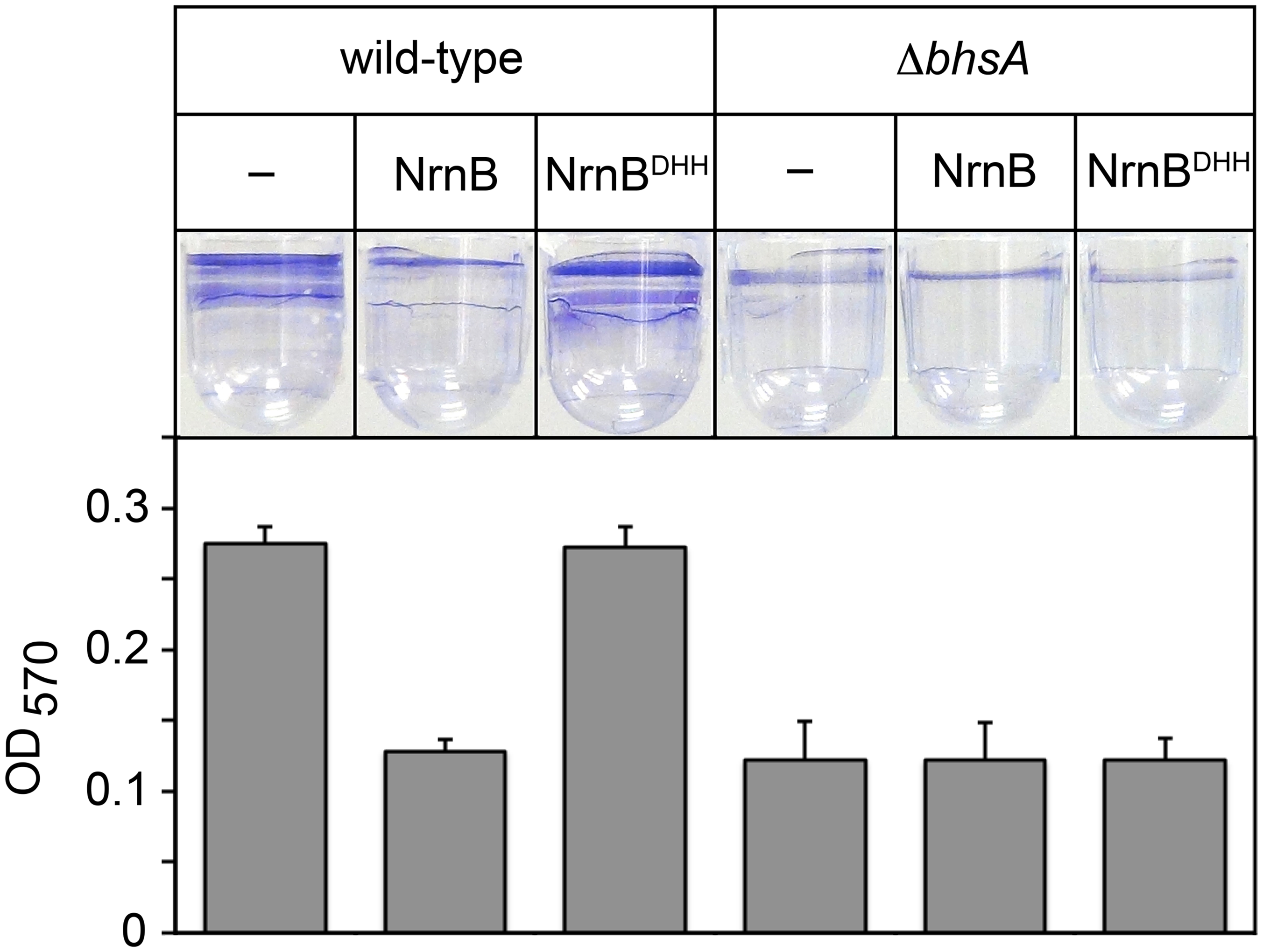 The PDI-dependent increase in <i>bhsA</i> expression contributes to biofilm formation in <i>E</i>. <i>coli</i>.