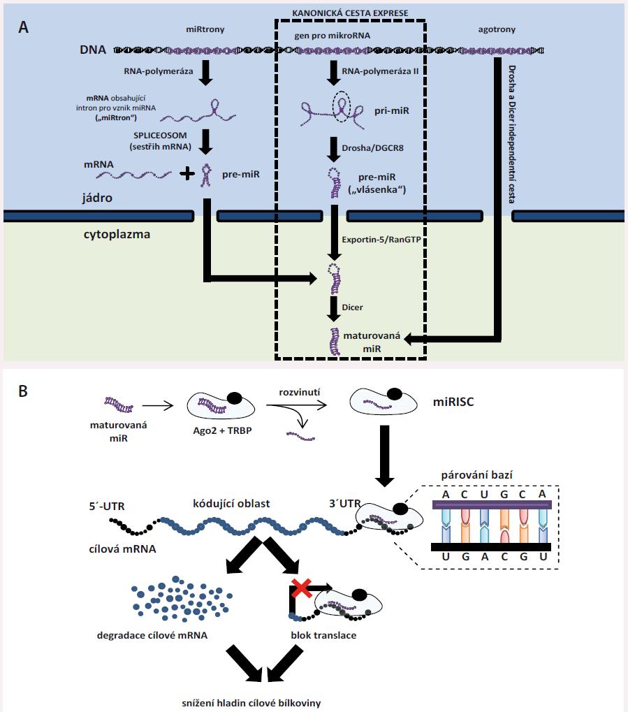 """Základní informace o intracelulárních miRNA. A) Biogeneze miRNA. Vznik miRNA probíhá většinou kanonickou cestou (střední část obrázku, popis v textu). Některé miRNA, tzv. miRtrony, jsou zakódovány v intronech jiných genů – po přepisu daného genu do molekuly primární RNA je pre-miRNA """"vystřižena"""" v procesu sestřihu s využitím spliceozomu (čímž miRtrony obcházejí komplex Drosha/DGCR8). Třetí možnou cestu vzniku reprezentují tzv. agotrony – jedná se o primární transkripty, které zcela obcházejí kanonickou cestu a pomocí jiných mechanizmů jsou nakonec upraveny do podoby maturovaných miRNA. B) Funkce miRNA. Po svém vzniku jsou zralé miRNA naloženy do miRNA-indukovaného tlumícího komplexu (miRISC) tvořeného proteiny Ago II a TRBP. Ago II zralou miRNA rozvine, jedno vlákno se uvolní do cytoplazmy a je degradováno, druhé se poté na podkladě komplementarity naváže do 3´ nepřekládané oblasti cílové mRNA, čímž vyvolá její degradaci, nebo ji zablokuje pro přepis do bílkoviny. Tím dochází ke snížení hladin cílových proteinů."""