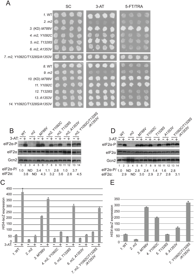 Substitutions in the HisRS domain suppress the <i>m2</i> mutation and constitutively activate Gcn2 in vivo.