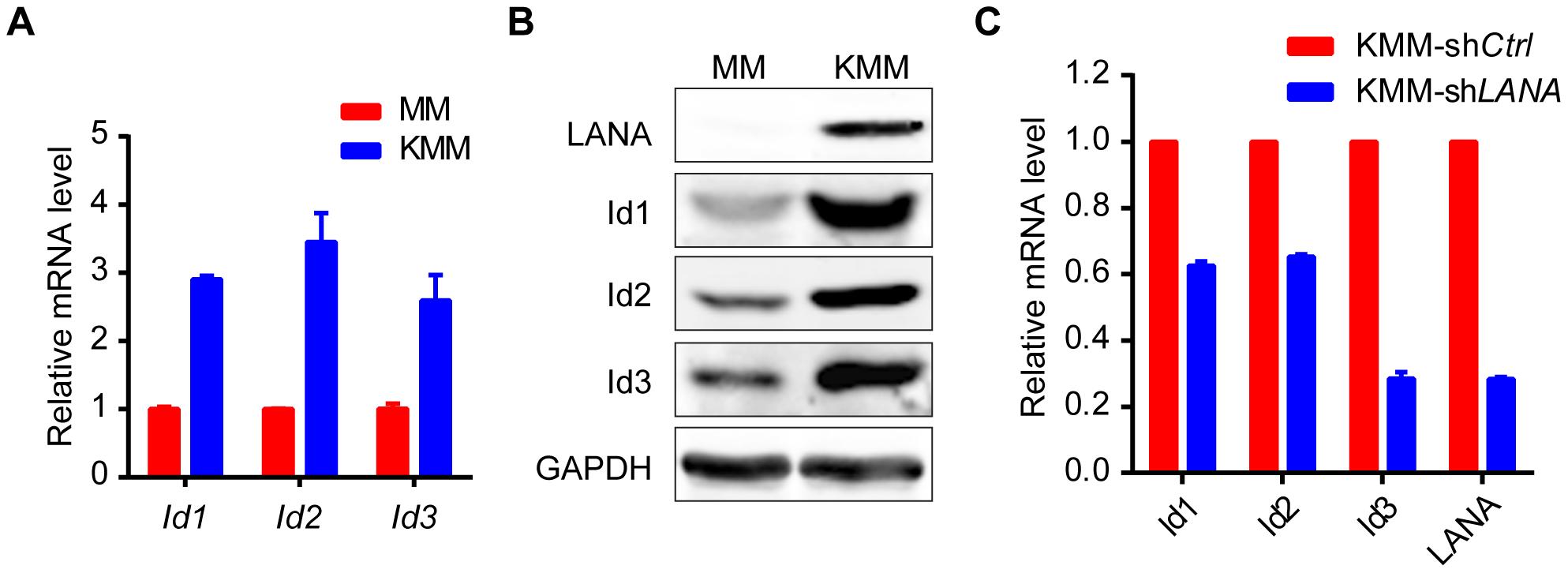 Ids were up-regulated in KSHV-transformed KMM cells.