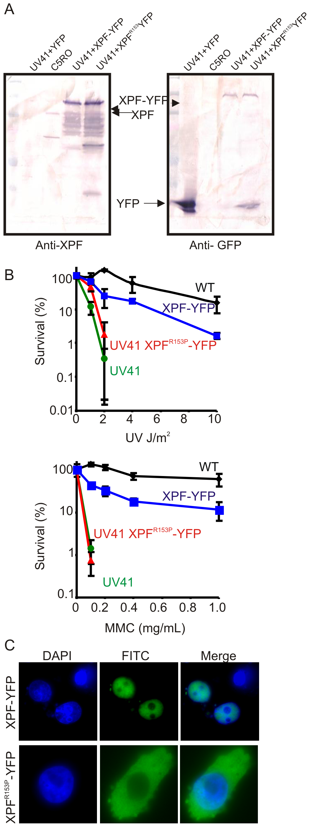 Characterization of XPF-YFP and XPF<sup>153</sup>-YFP in CHO cells.