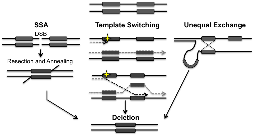 Models for the generation of deletions between directly repeated sequences.