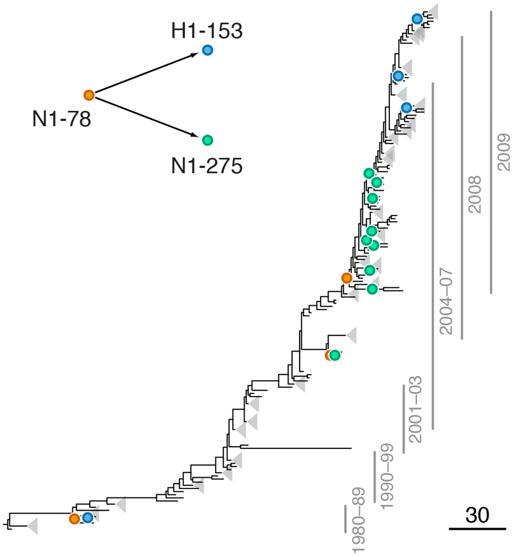 Example of putative inter-gene epistasis between sites N1-78 and H1-153.