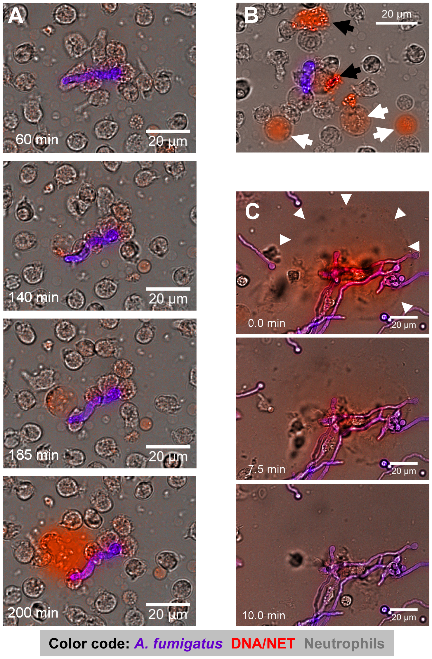 Time-lapse widefield microscopy of NET formation by neutrophils co-incubated with swollen conidia of <i>A. fumigatus</i>.