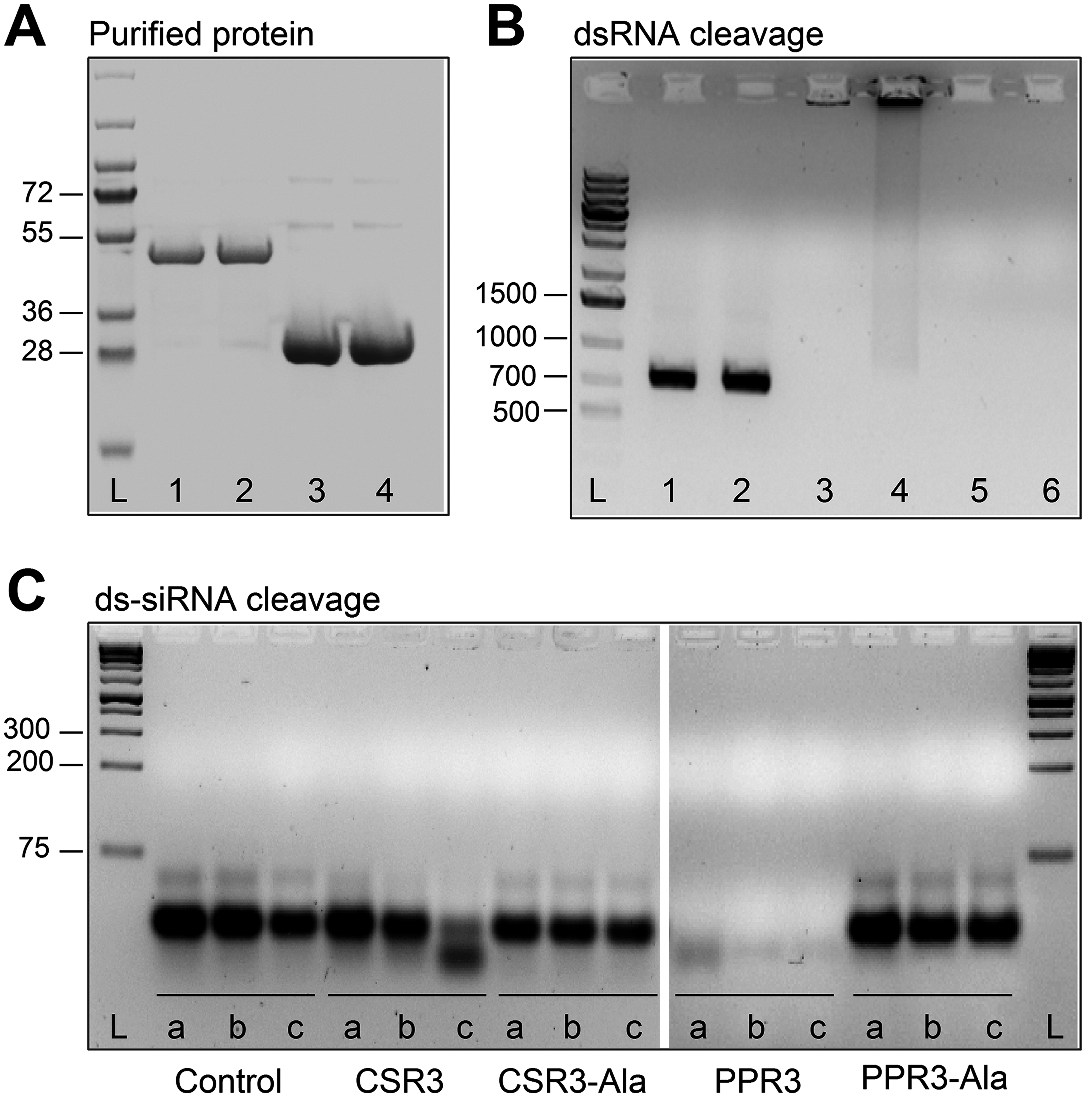Endoribonuclease activity of PPR3 and CSR3 on long and short dsRNA.