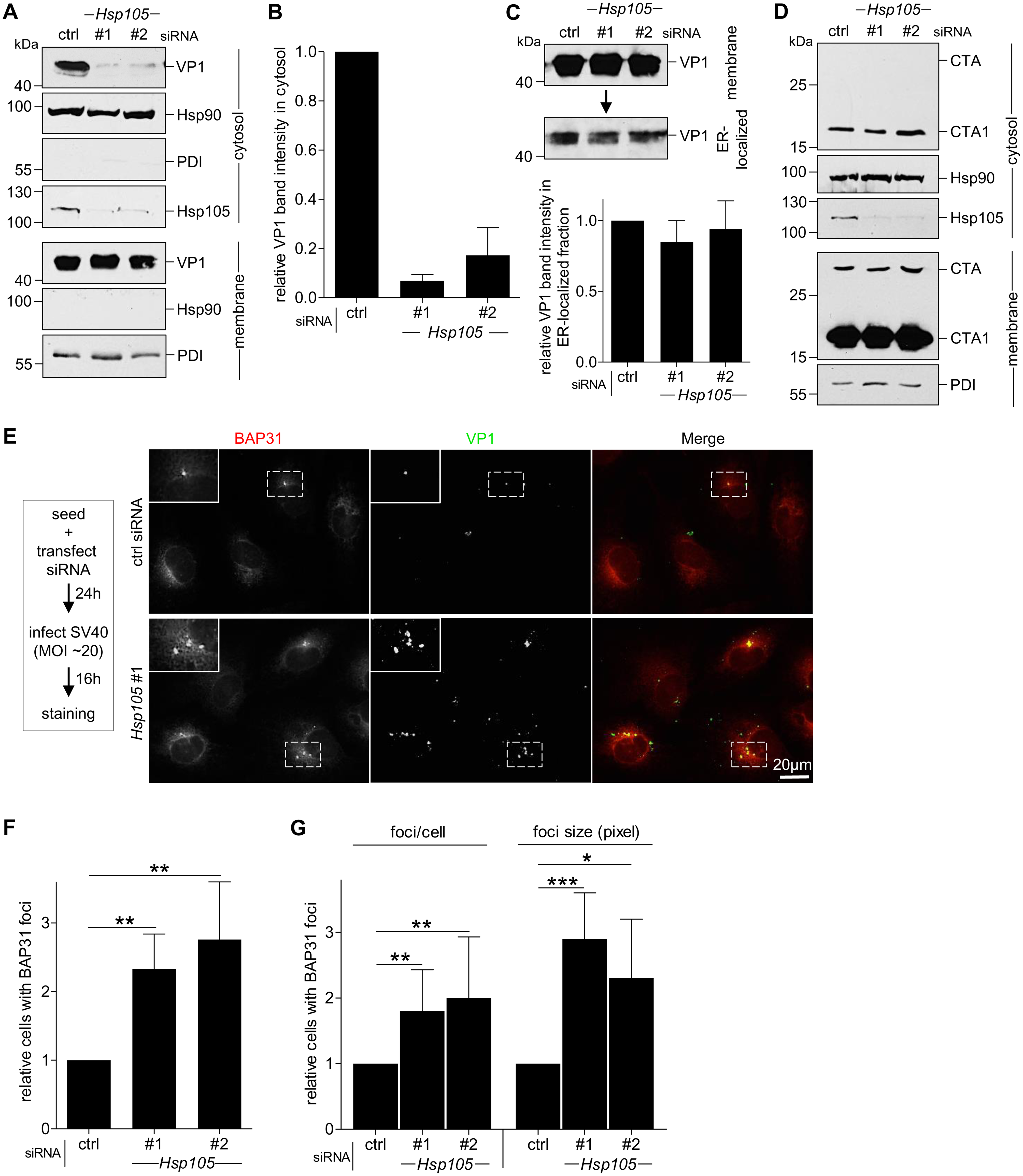 Hsp105 is indispensable for SV40 cytosol arrival.