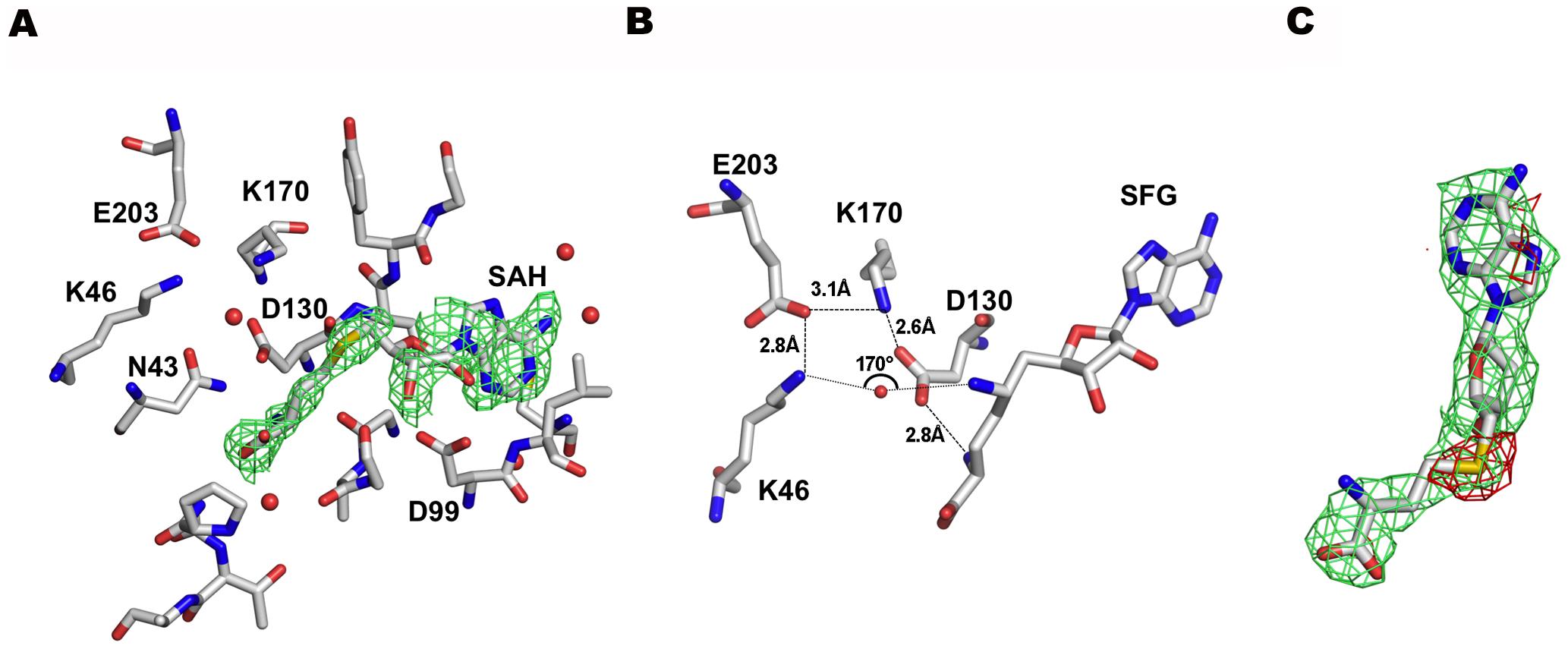 The SAM binding site of nsp16.