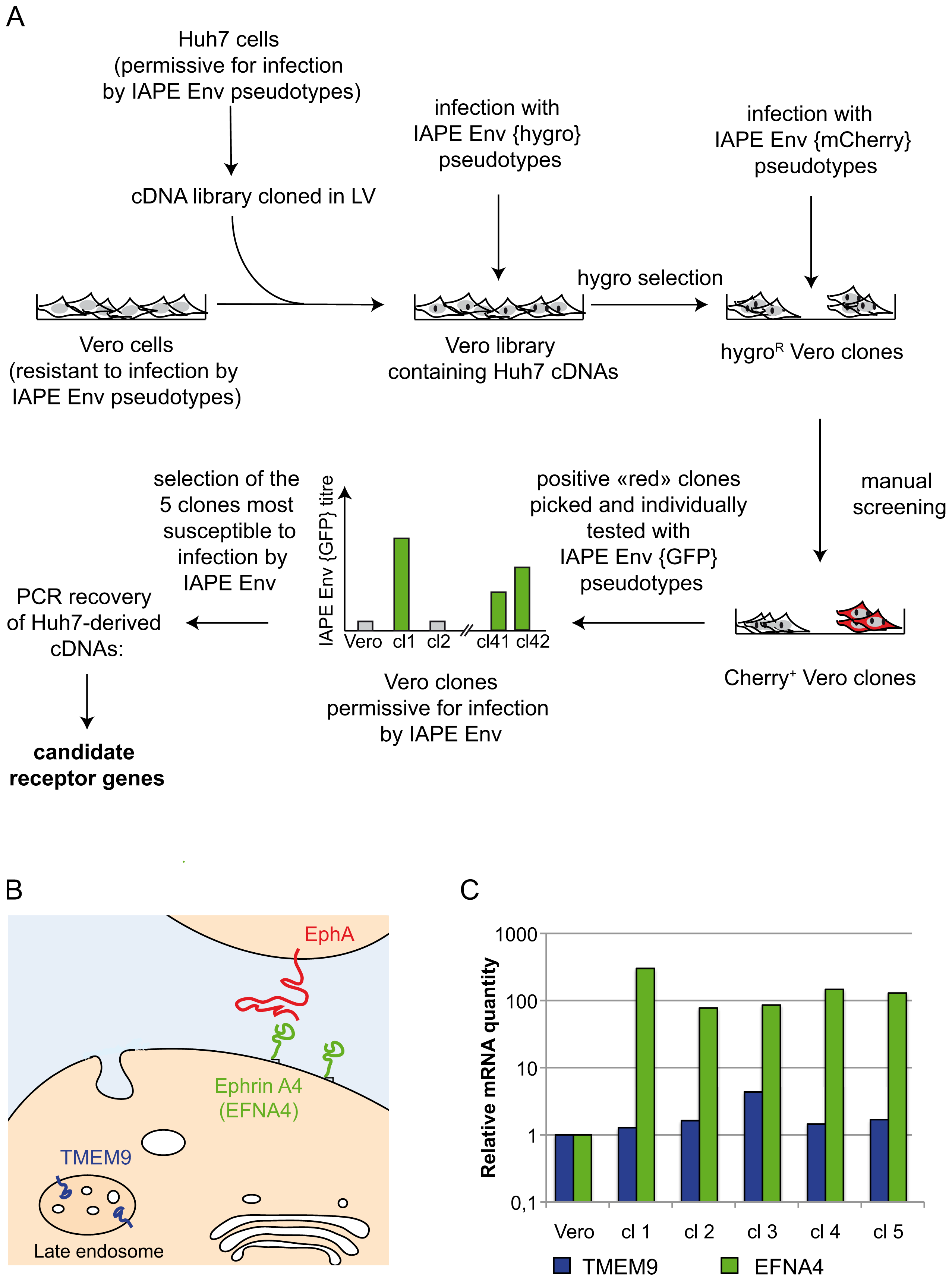 Screening strategy and identification of cDNA clones for the IAPE receptor.