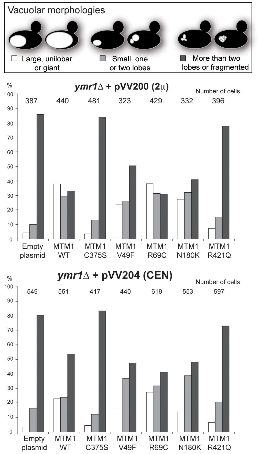 Vacuolar morphologies quantification in yeast cells producing MTM1.
