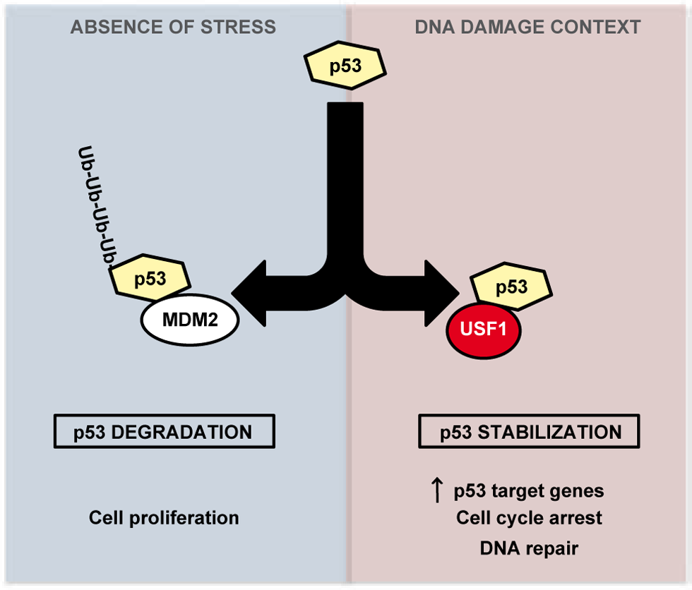 Model of regulation of p53 stabilization by USF1 in response to stress.