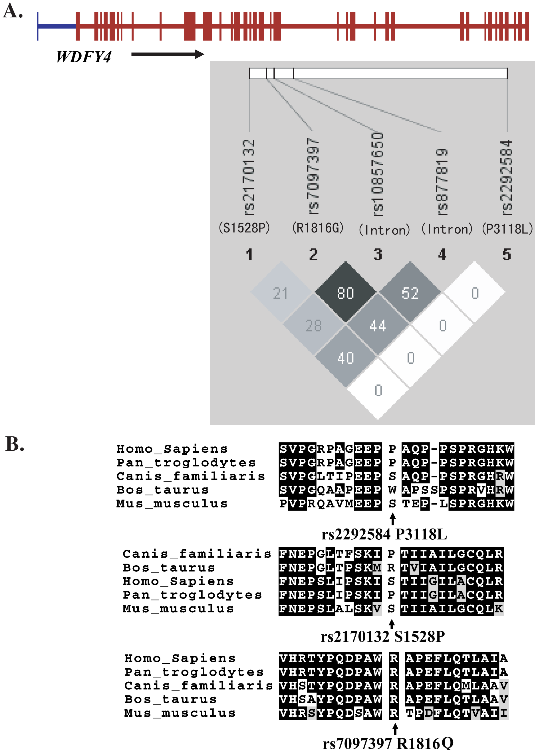 LD among <i>WDFY4</i> SNPs examined in this study (A) and sequence conservation of the three nonsynonymous variations among various species (B).