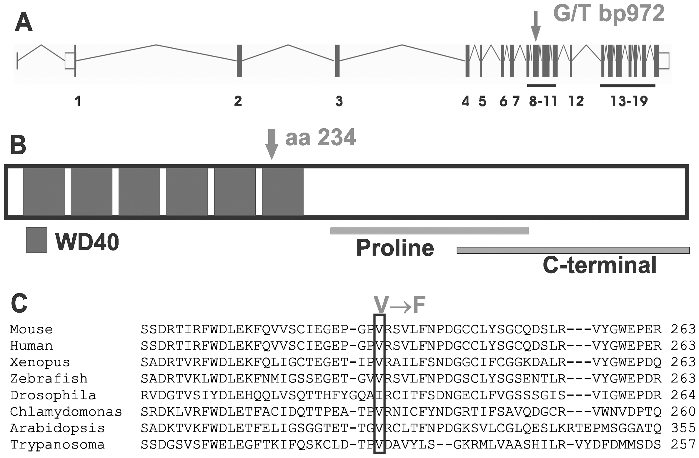 The Taily mutation within the <i>Katnb1</i> gene and protein.