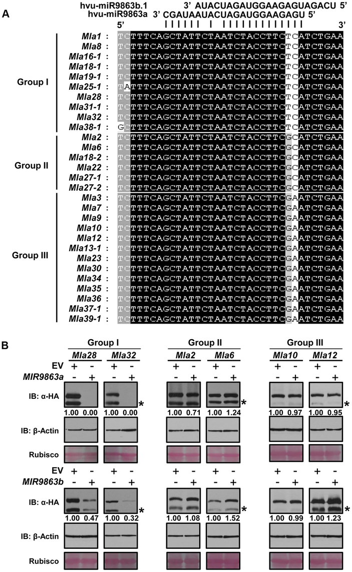 miR9863a and miR9863b.1/b.2 specifically regulate group I <i>Mla</i> alleles.