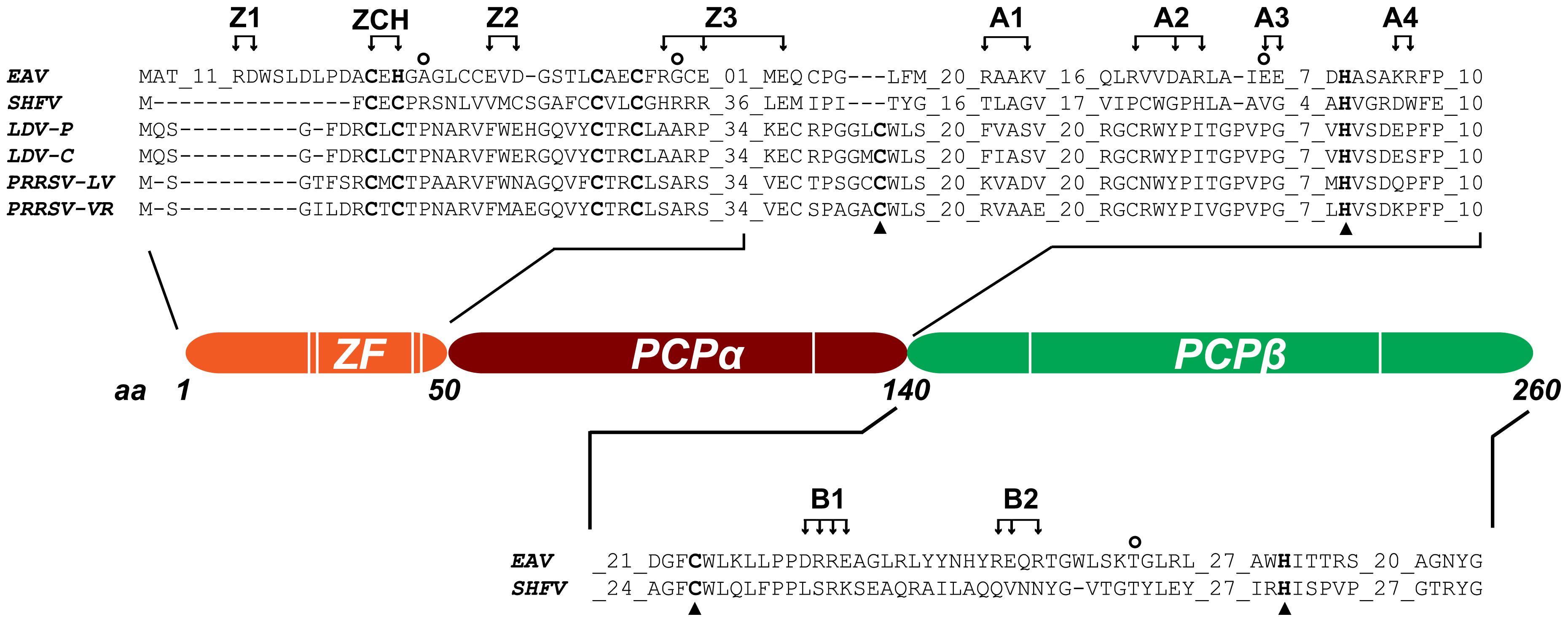 Domain organization of EAV nsp1.