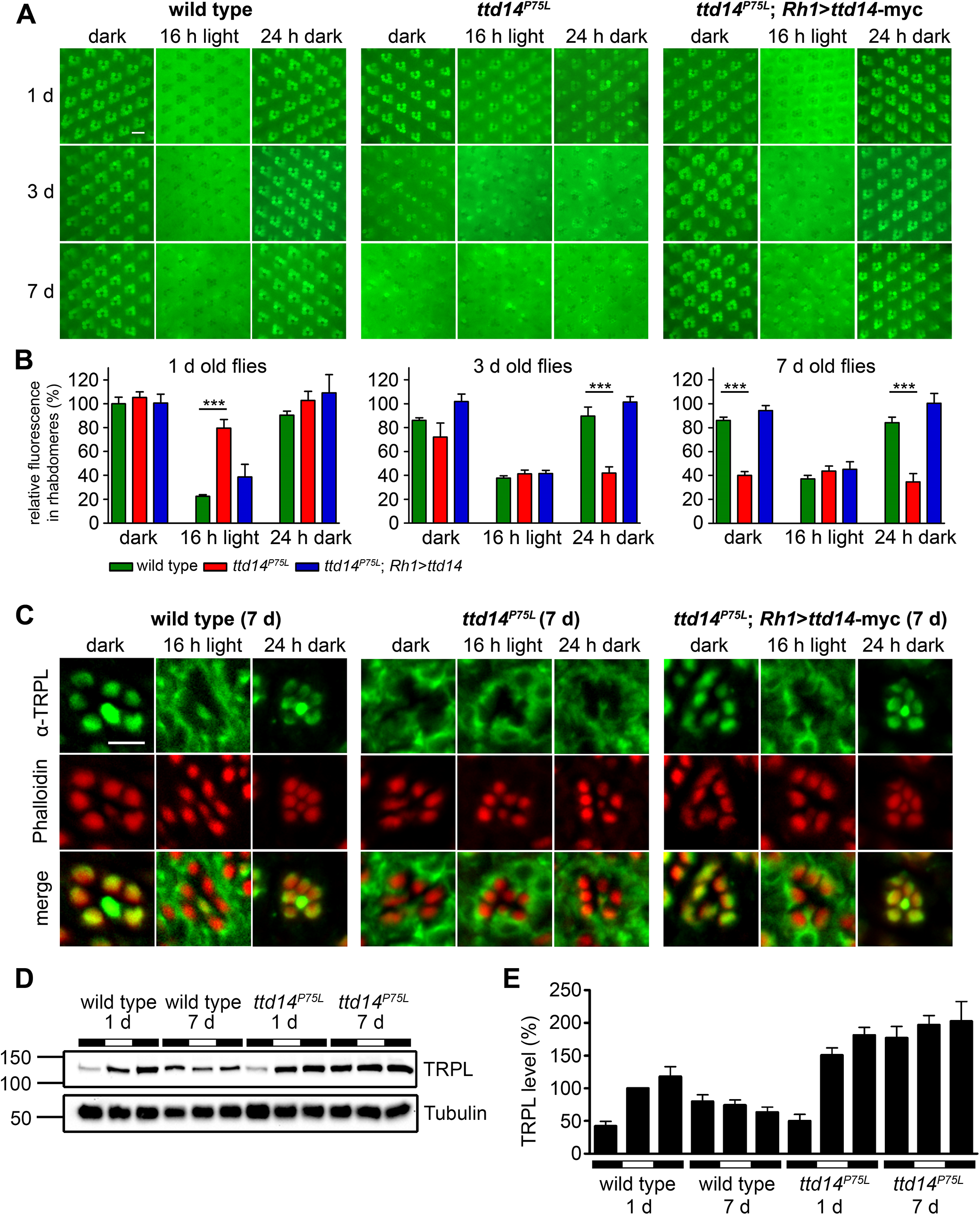 Characterization of the TRPL trafficking defect in the <i>ttd14</i><sup><i>P75L</i></sup> mutant.