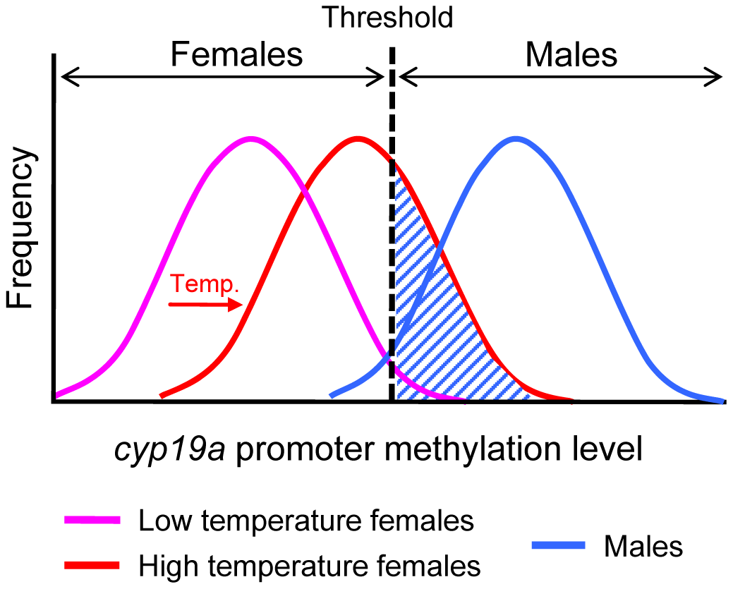 Schematic diagram of the frequency distribution of the sb c<i>yp19a</i> promoter methylation levels in females and males.