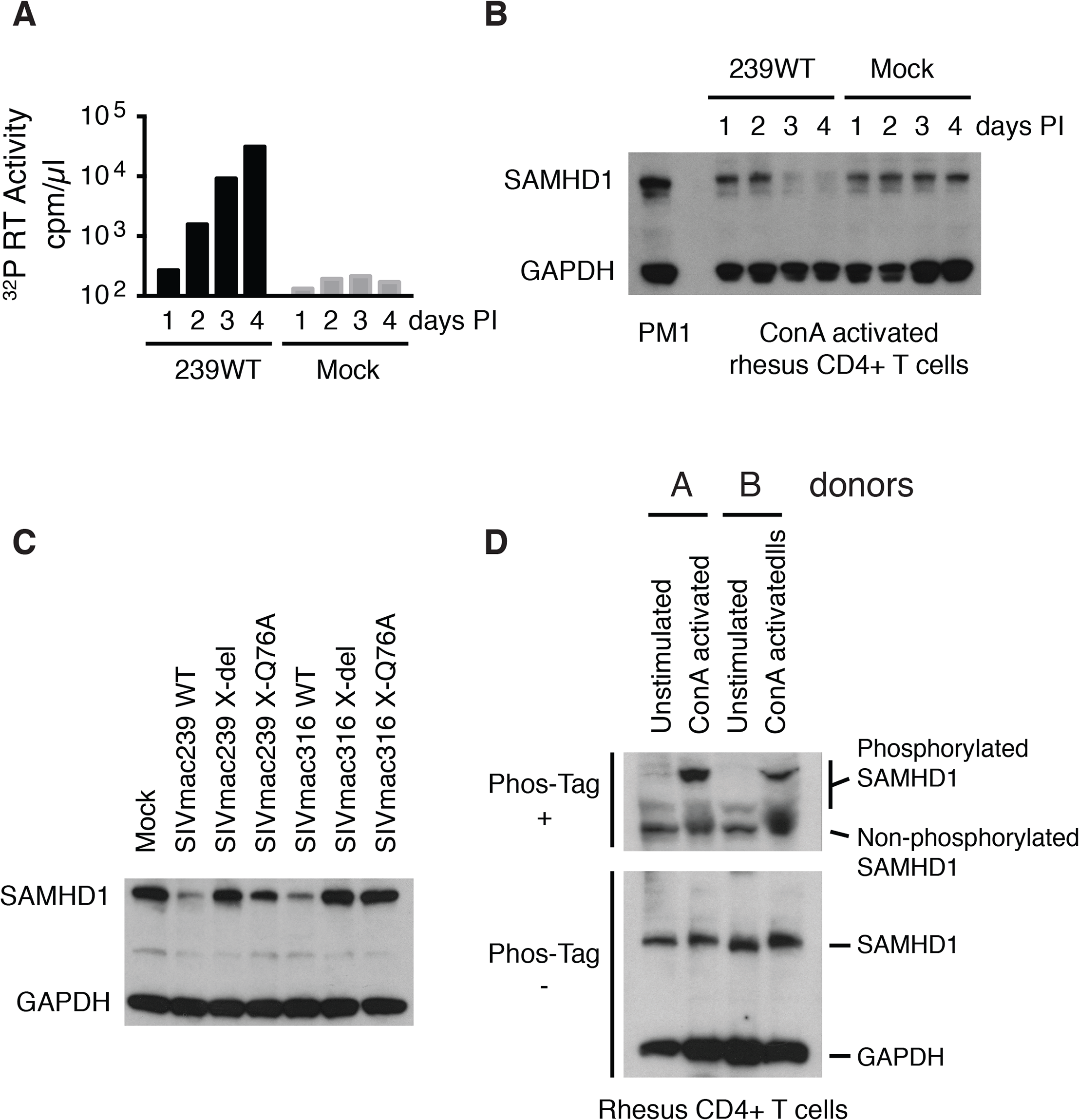 The presence of wild type Vpx correlates with reduced levels of endogenous SAMHD1 in ConA-activated macaque CD4<sup>+</sup> T lymphocytes.