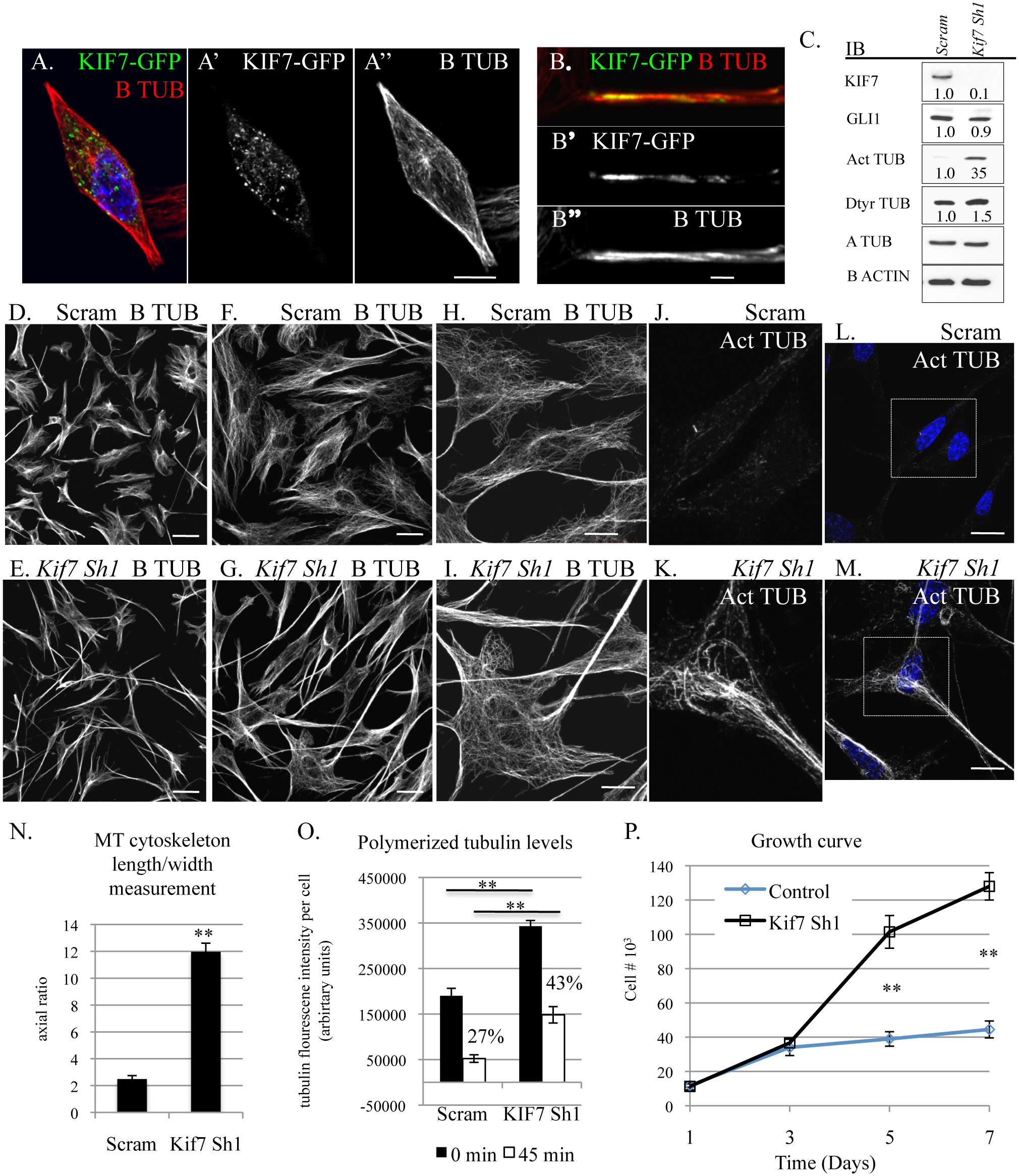 KIF7 regulates microtubule organization, microtubule stability, and cellular proliferation in fibroblasts.