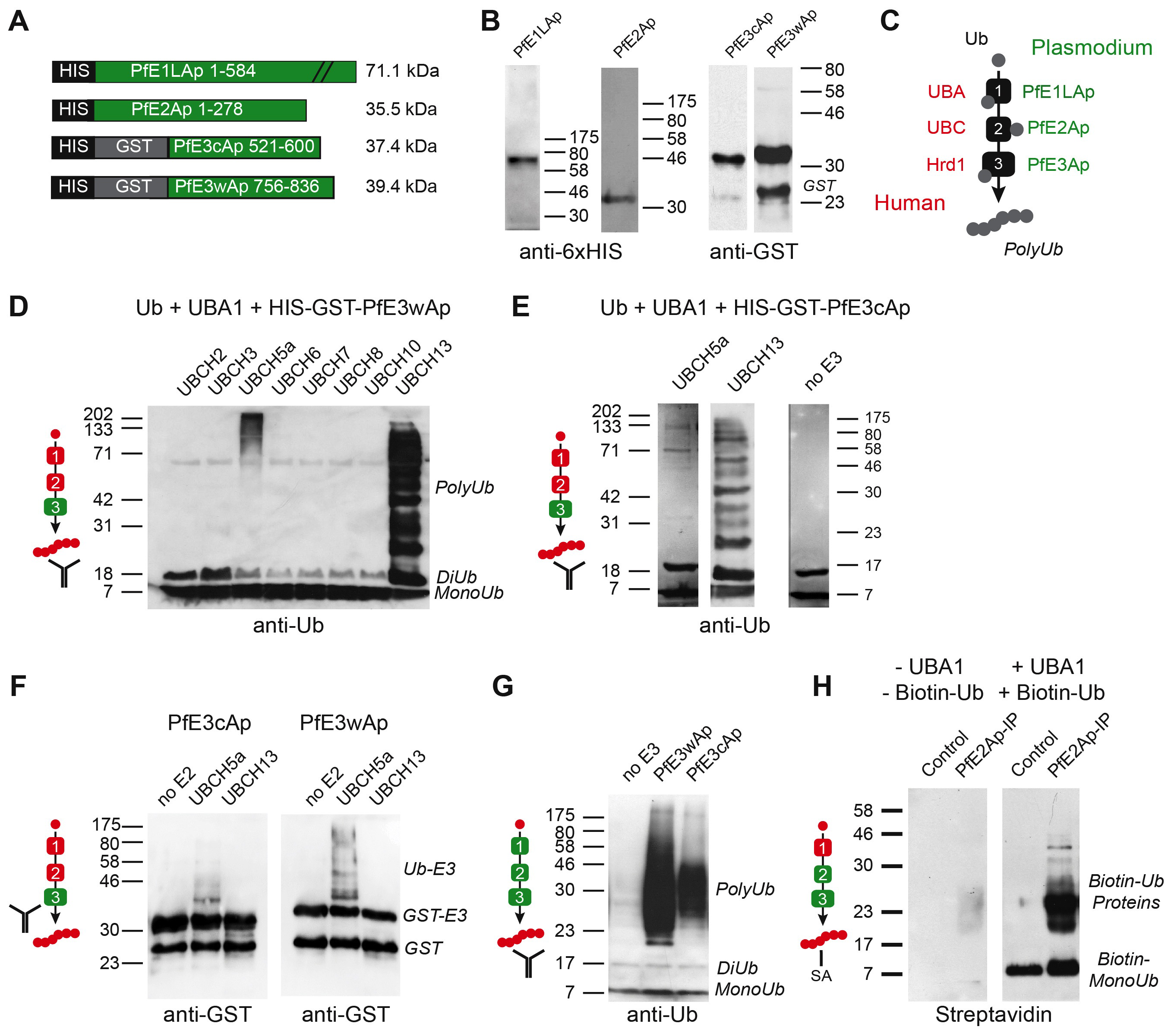 Recombinant <i>Plasmodium falciparum</i> apicoplast proteins show ubiquitin activation, conjugation and ligation activity.