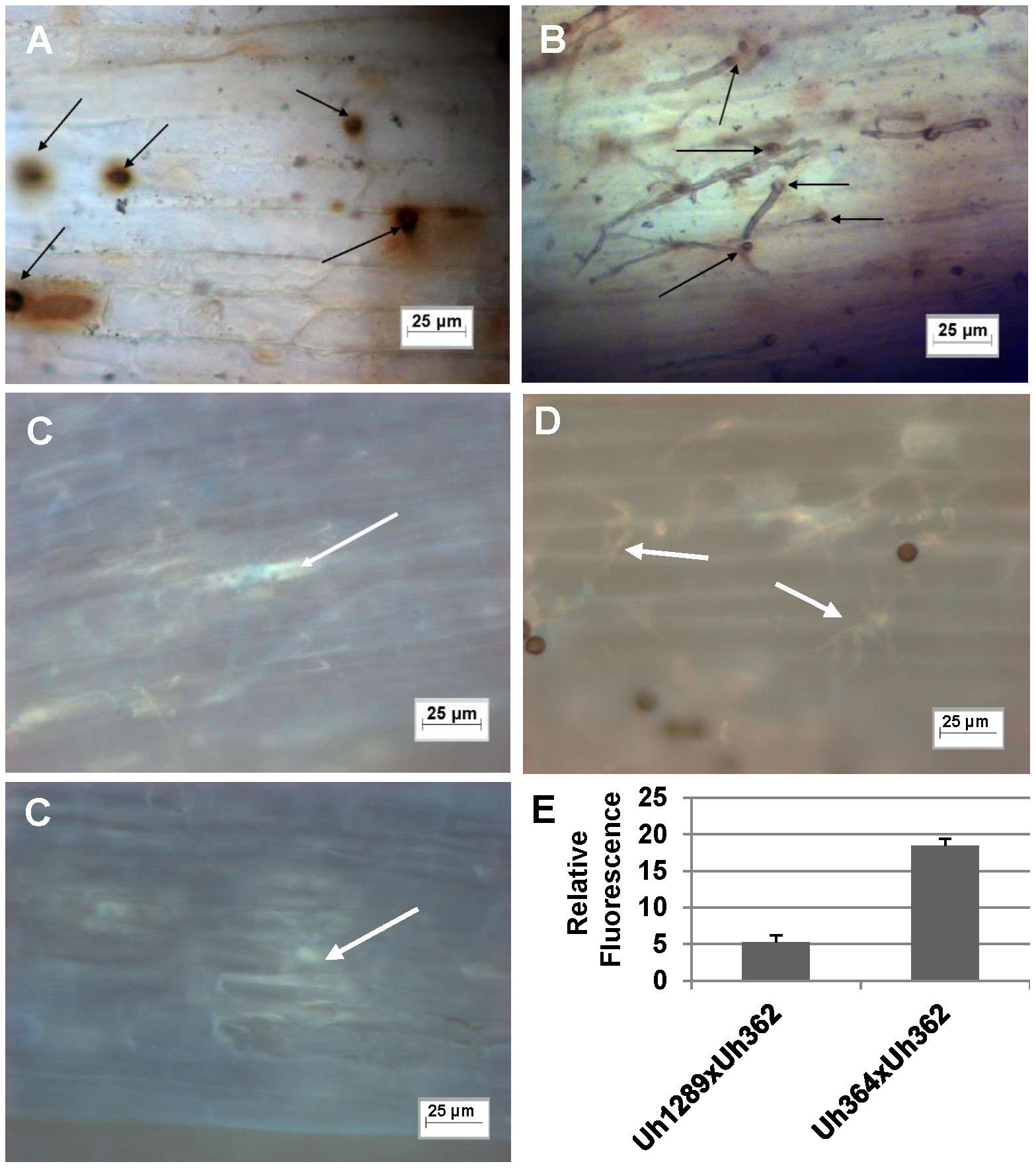 Light microscopic analysis of compatible and incompatible infection types.