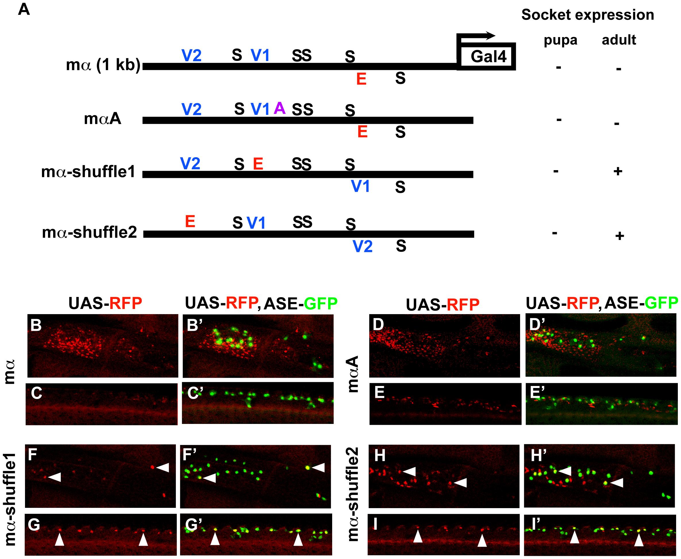 Motif rearrangement in the mα enhancer yields ectopic activity in adult socket cells.