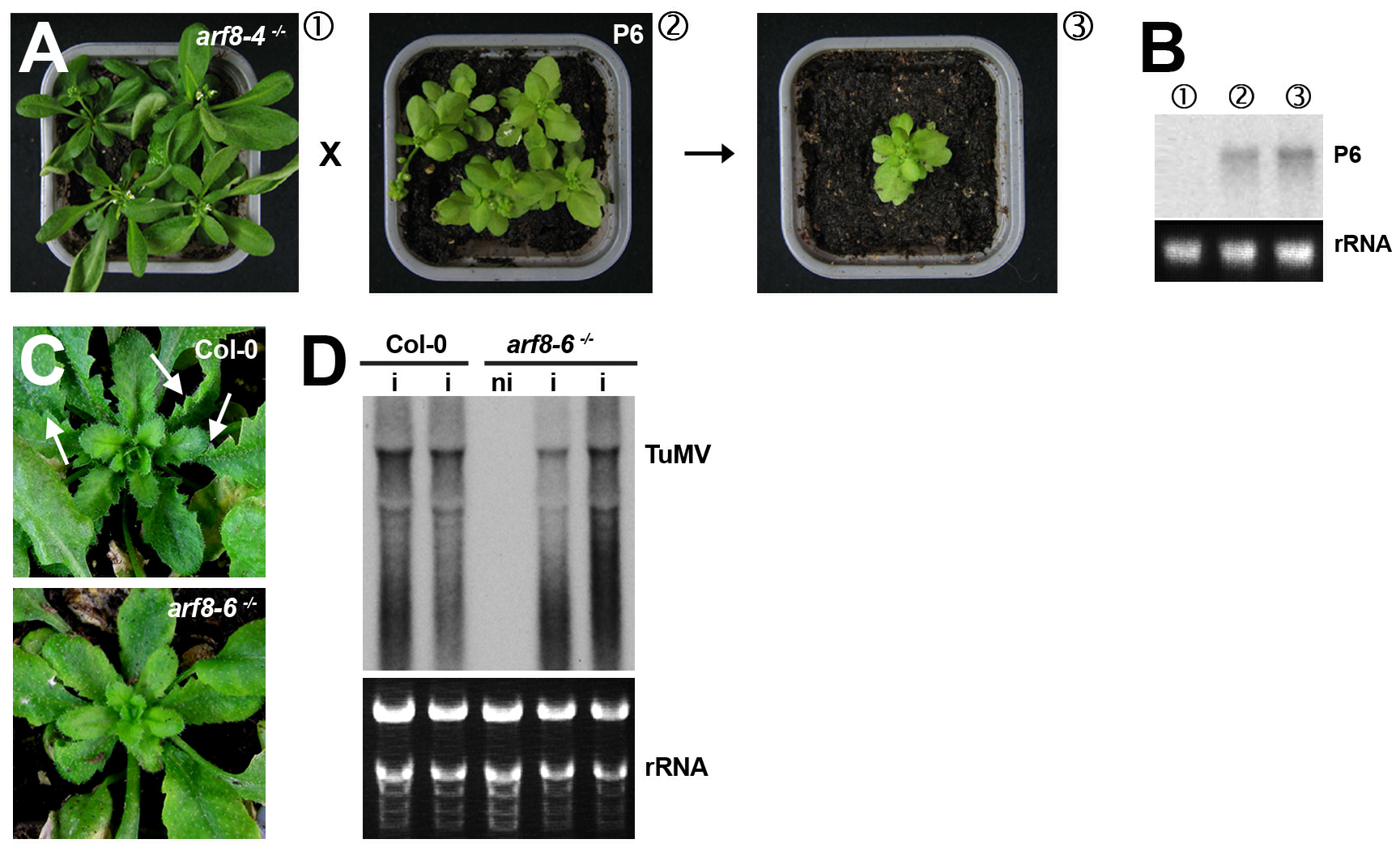 The <i>arf8</i> mutation does not alter the developmental phenotypes caused by the P6 VSR of <i>Cauliflower mosaic virus</i> but strongly reduces those incurred by<i>Turnip mosaic virus</i> infection.