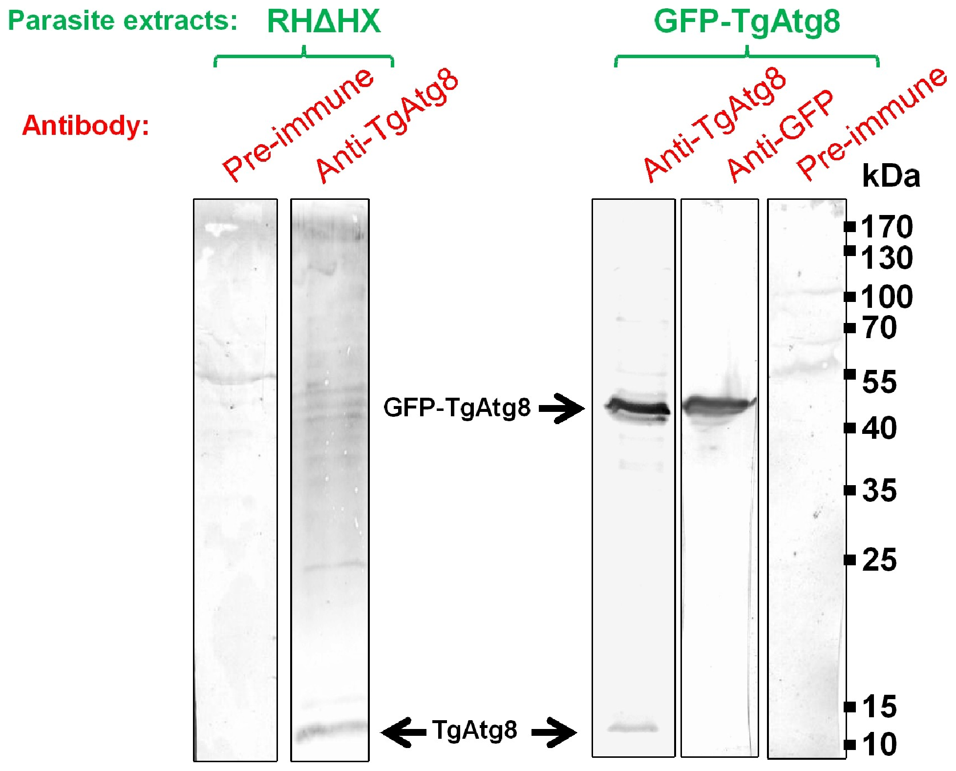 Detection of native and GFP-fused TgAtg8.
