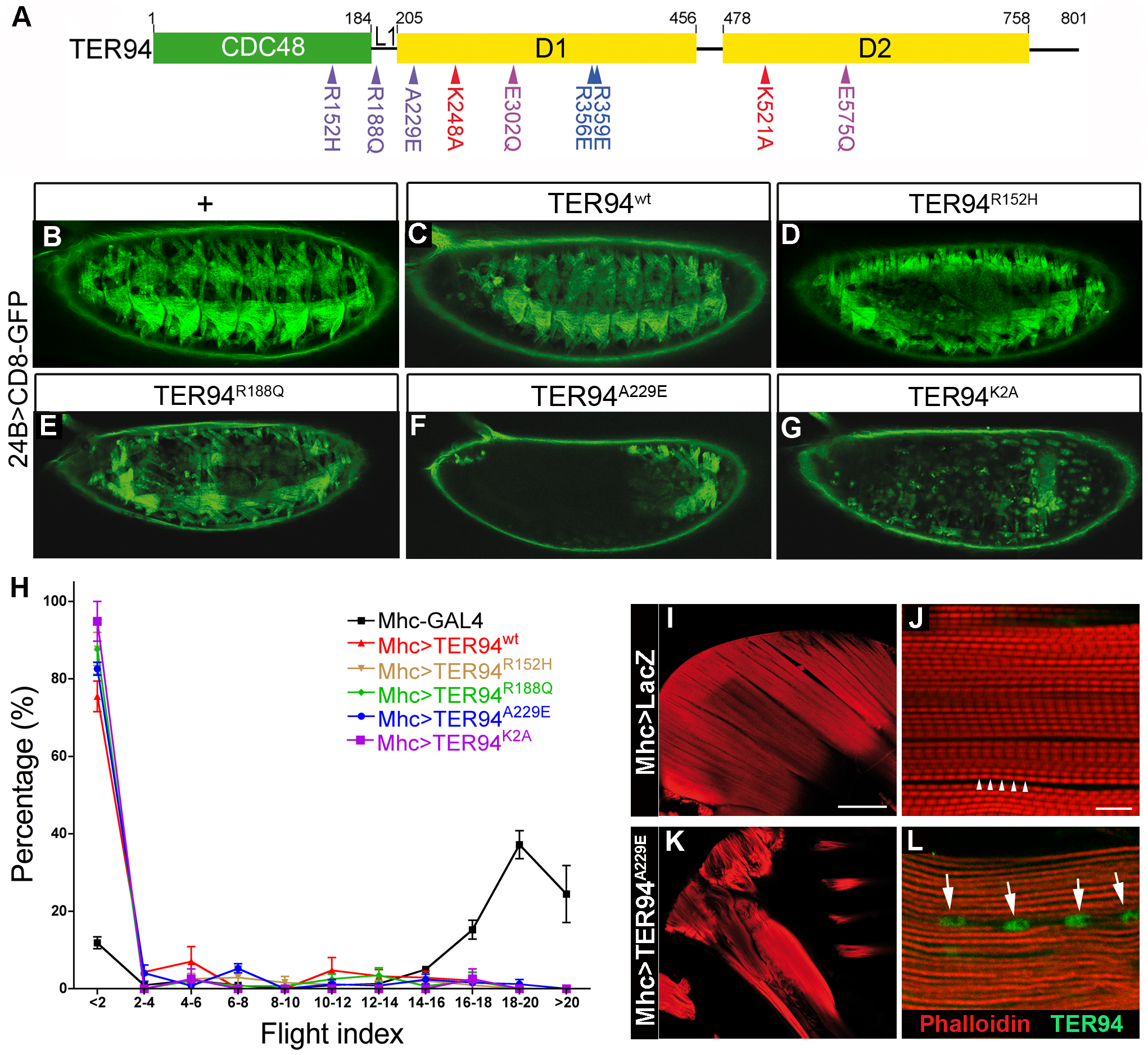 Tissue-specific expression of TER94 IBMPFD mutants disrupts muscle integrity.