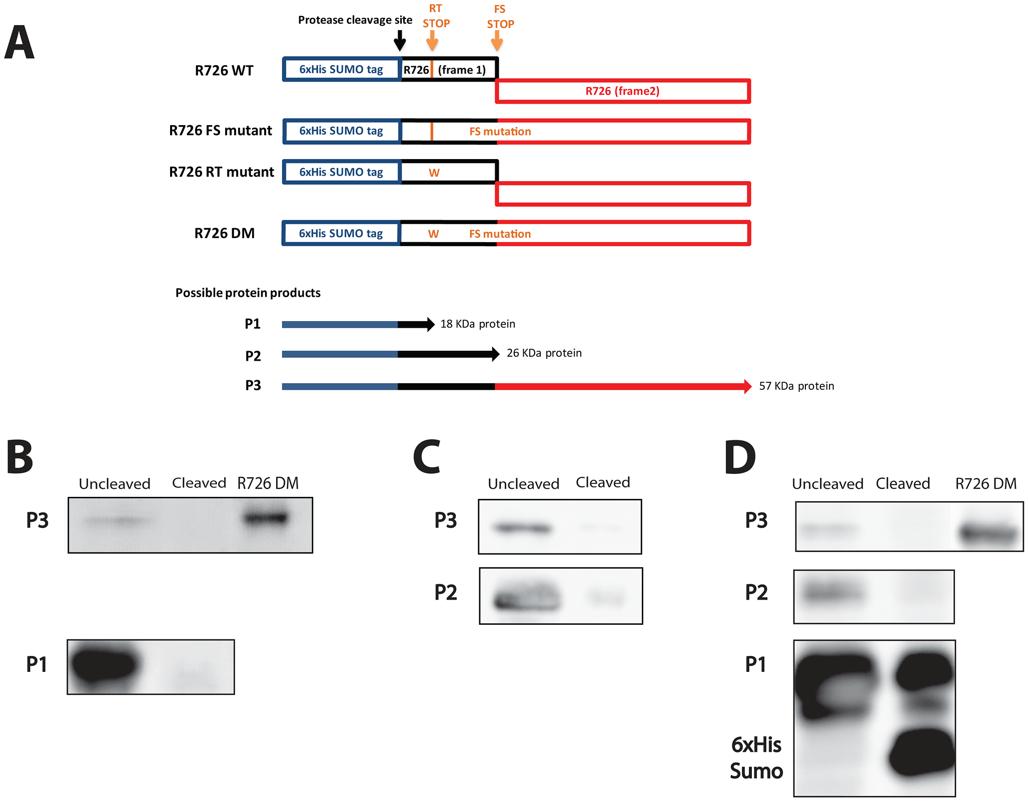 Schematic representation of the Mimivirus R726 gene constructs and Western blots.