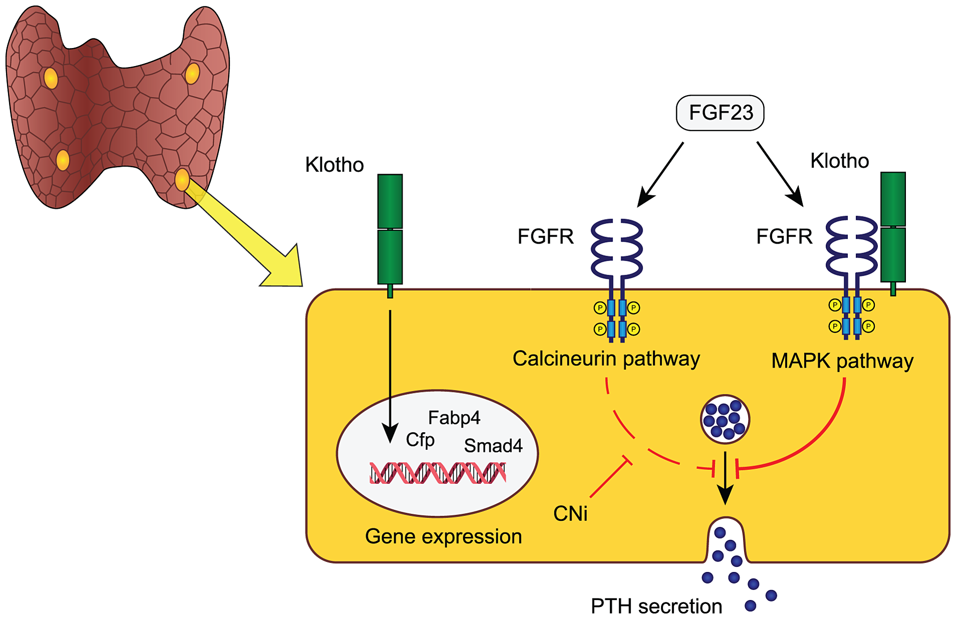 Proposed model of FGF23-Klotho function in parathyroid glands.
