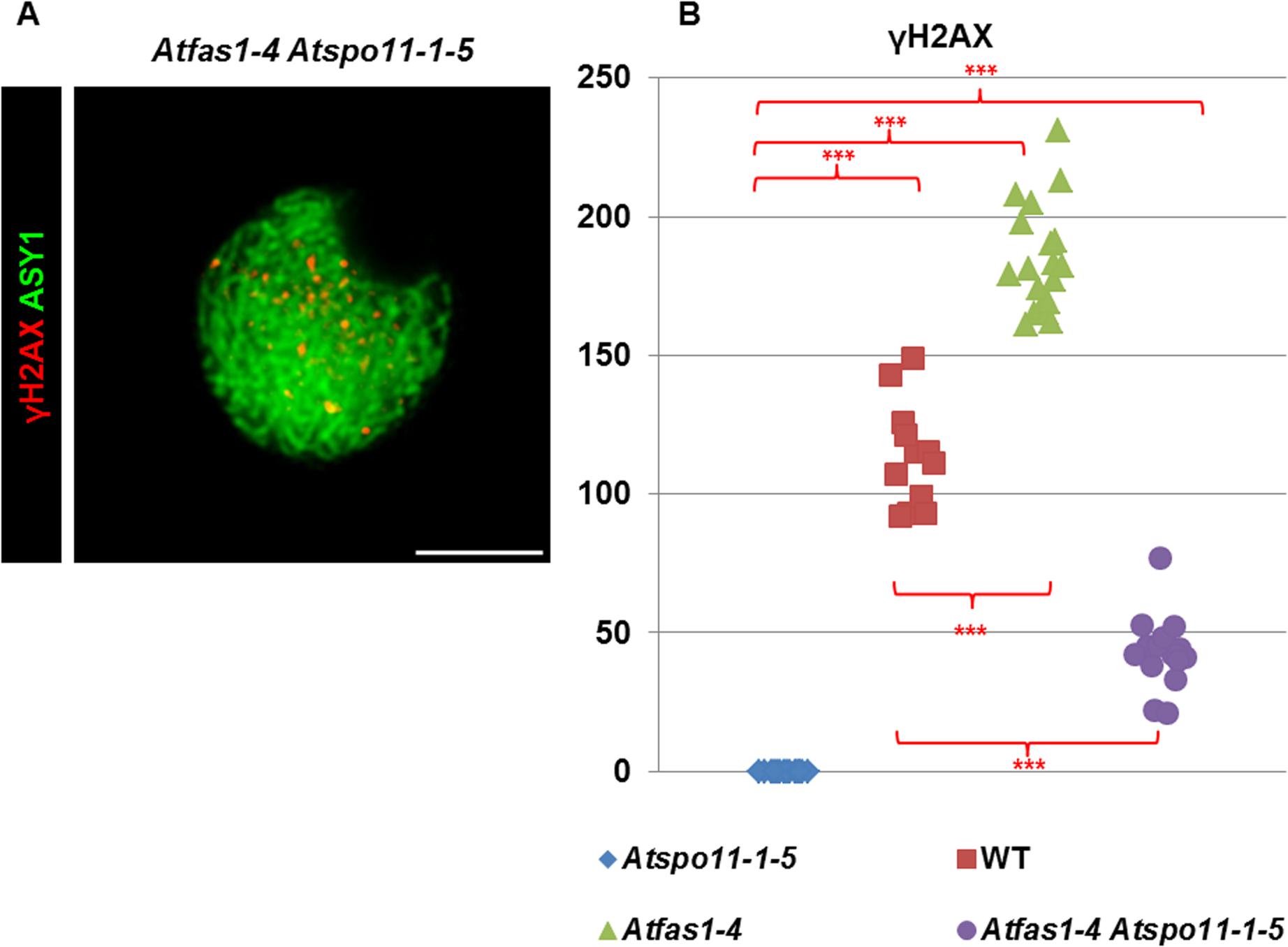 DSB formation in <i>Atfas1-4</i>, <i>Atspo11-1-5</i>, and in the double mutant <i>Atfas1-4 Atspo11-1-5</i>.